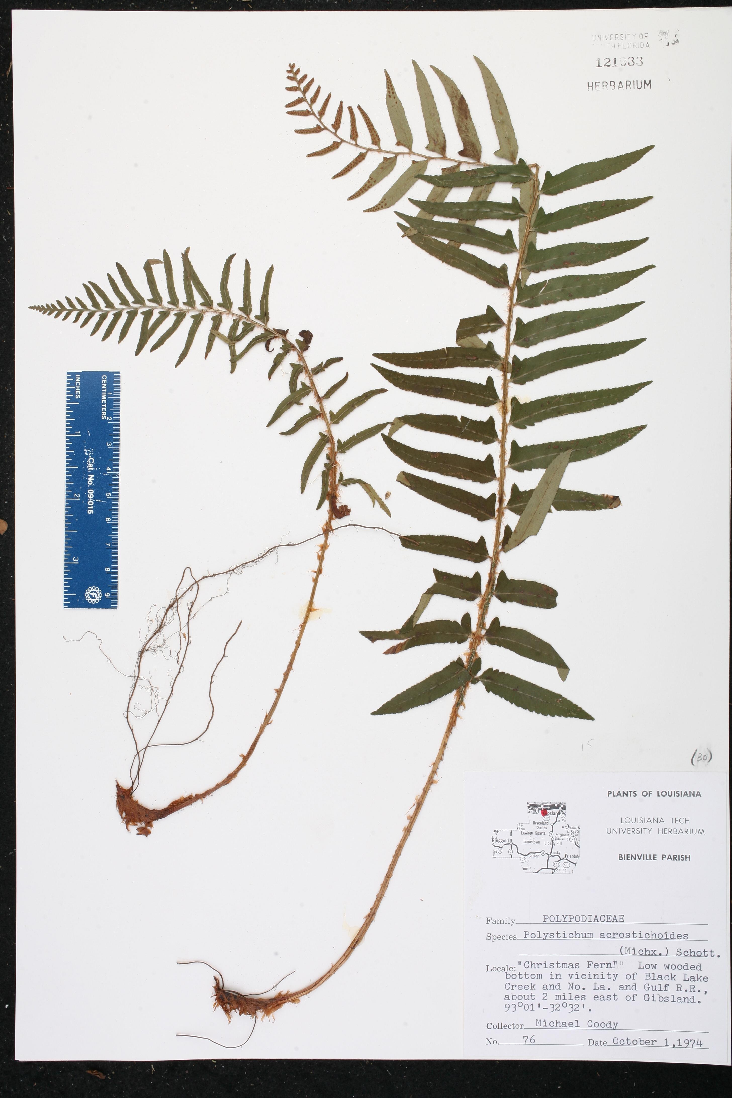 Polystichum acrostichoides Species Page ISB Atlas of Florida Plants