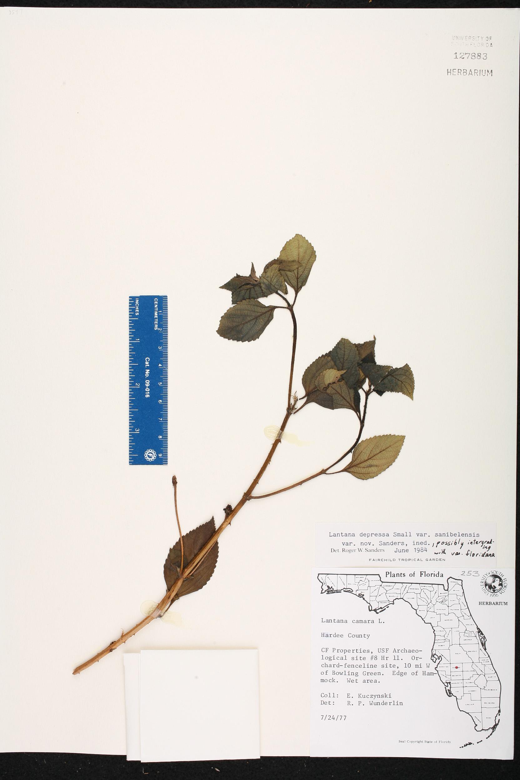 Herbarium specimen details isb atlas of florida plants family name ccuart Images