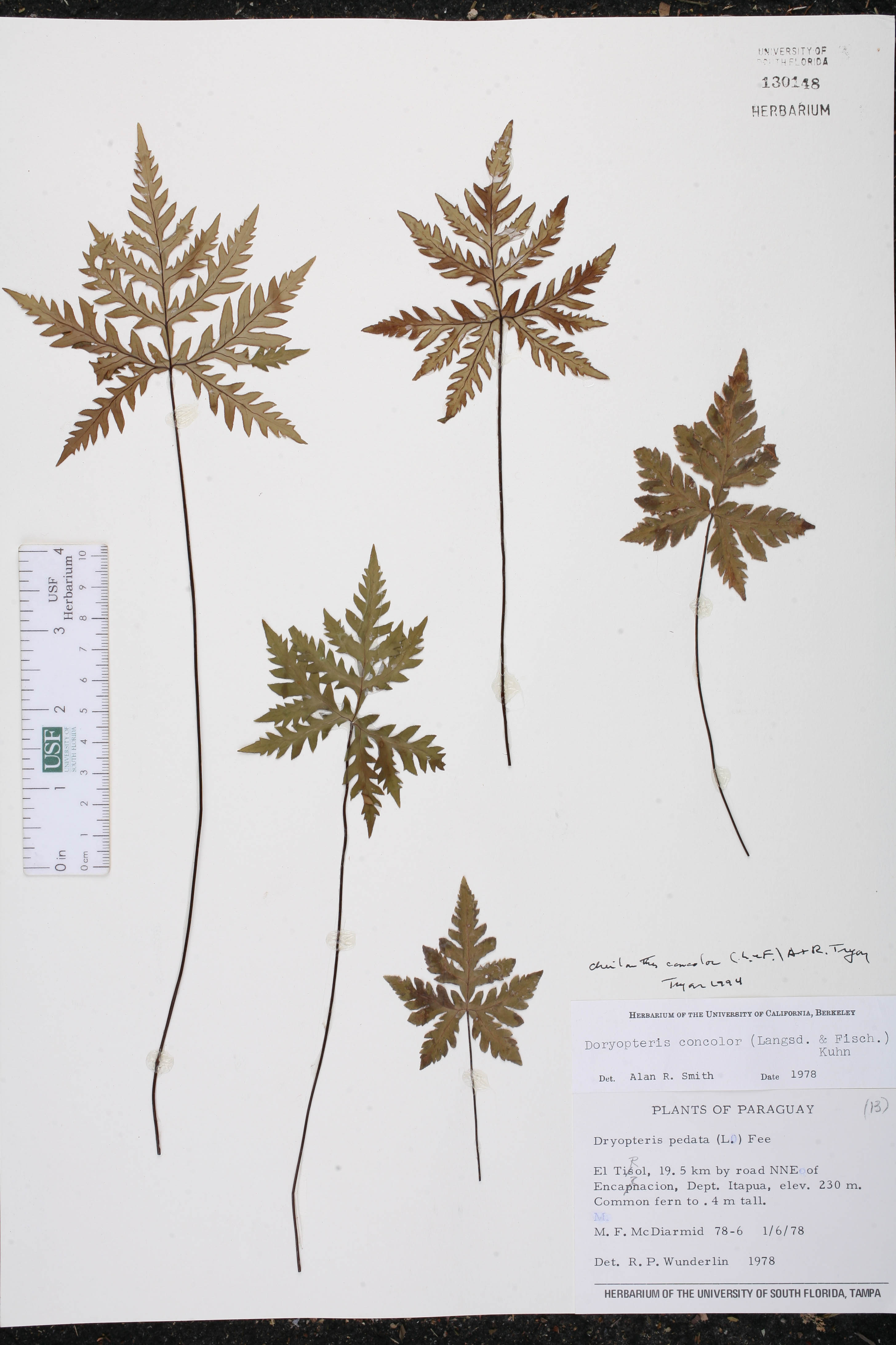 Cheilanthes concolor image