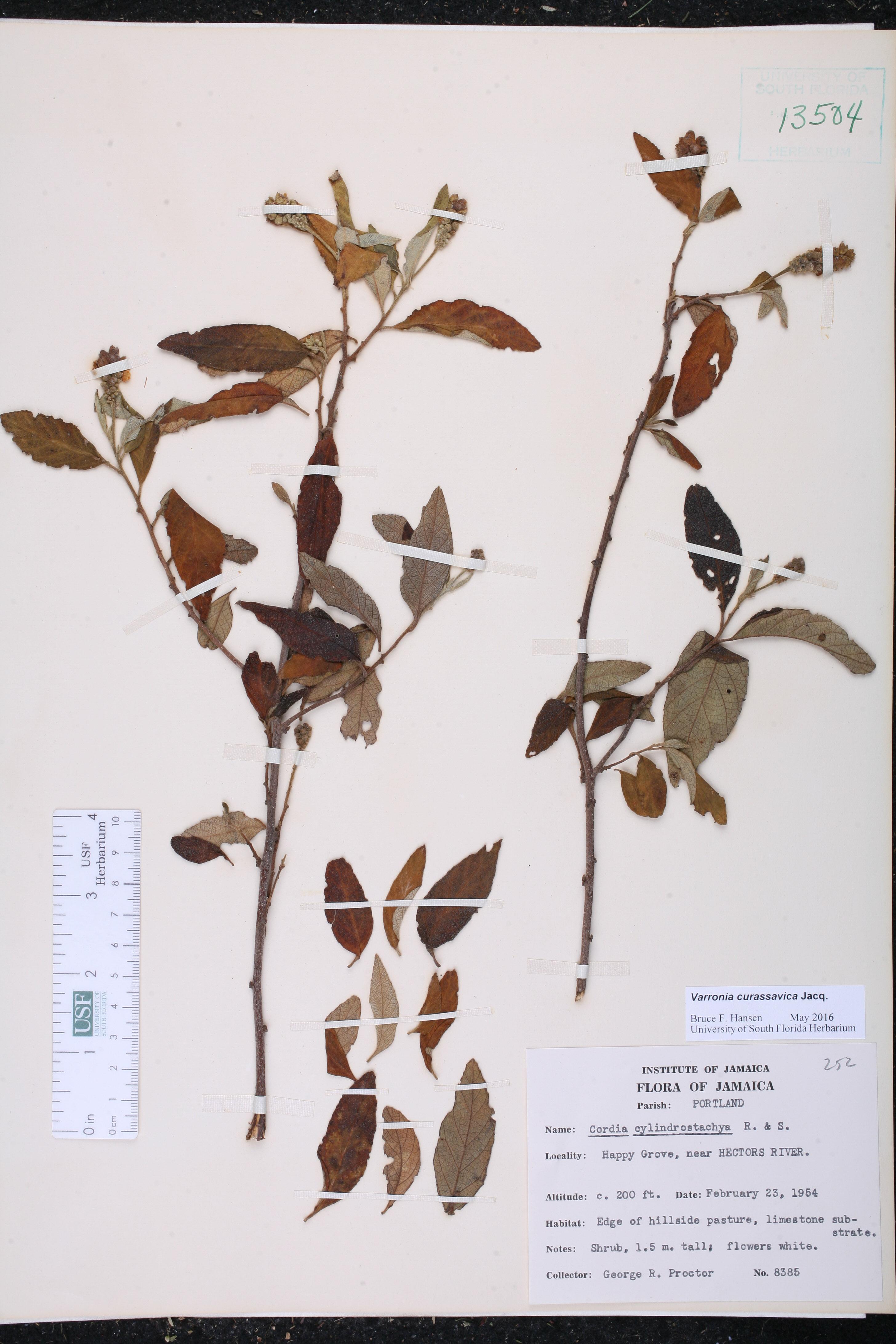 bay frunze de la varicoză funcționarea pe vienhes vienhes
