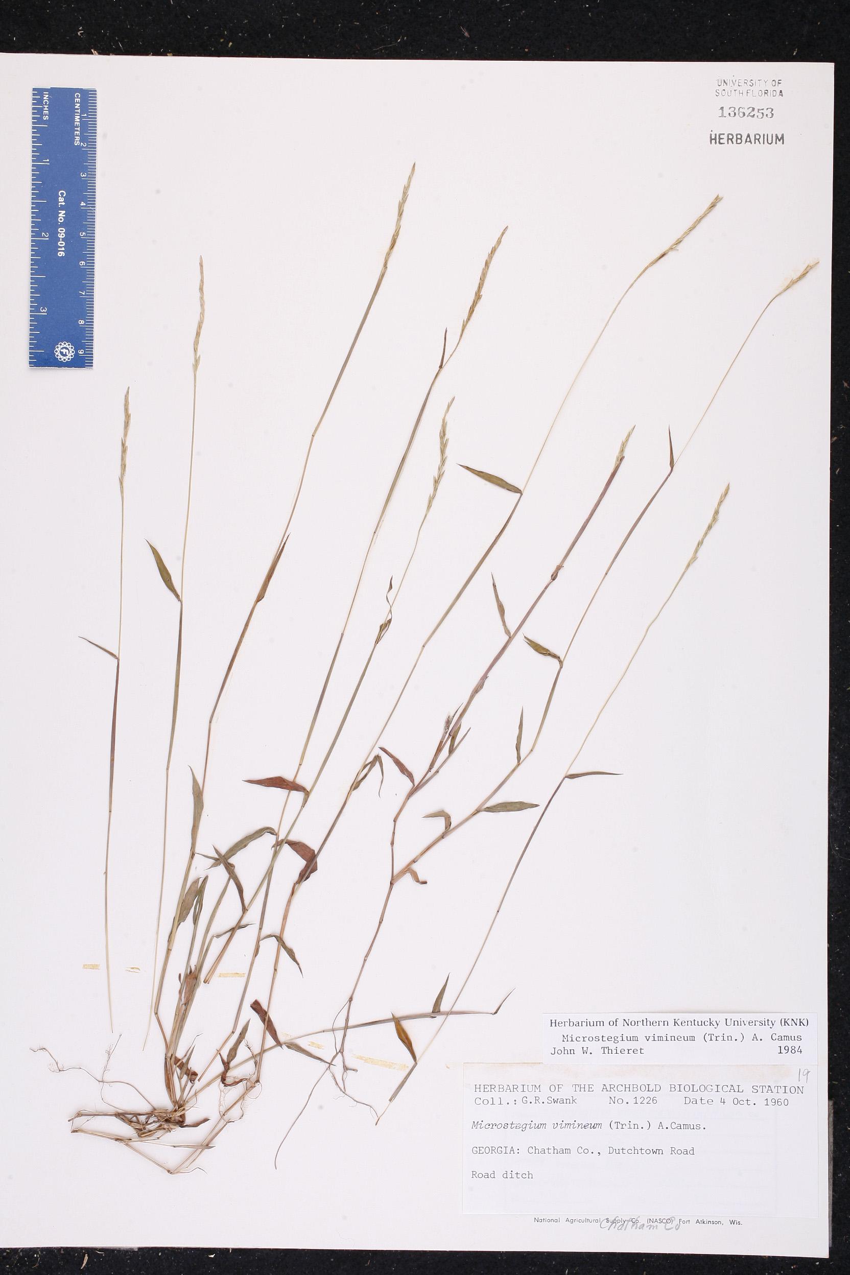 Microstegium vimineum - Species Page - ISB: Atlas of Florida