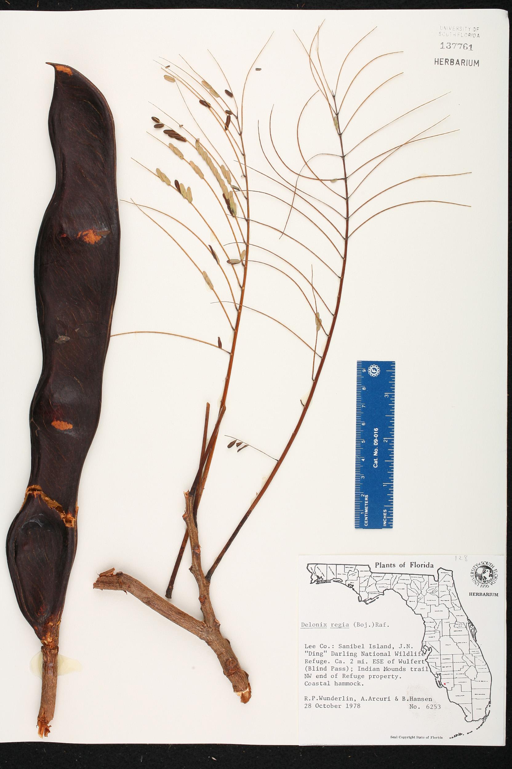 family name     herbarium specimen details   isb  atlas of florida plants  rh   florida plantatlas usf edu