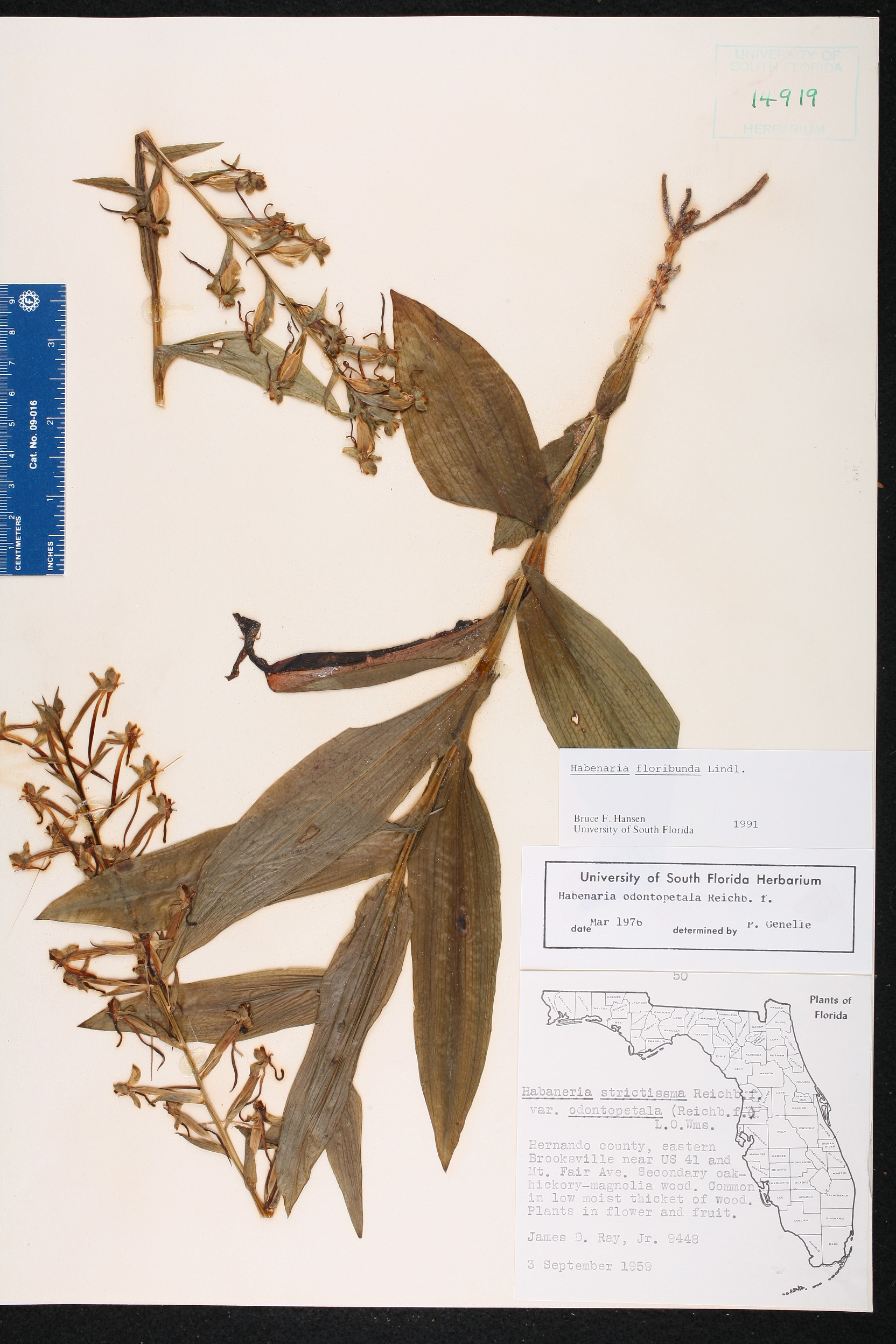 Habenaria floribunda - Species Page - ISB: Atlas of Florida Plants