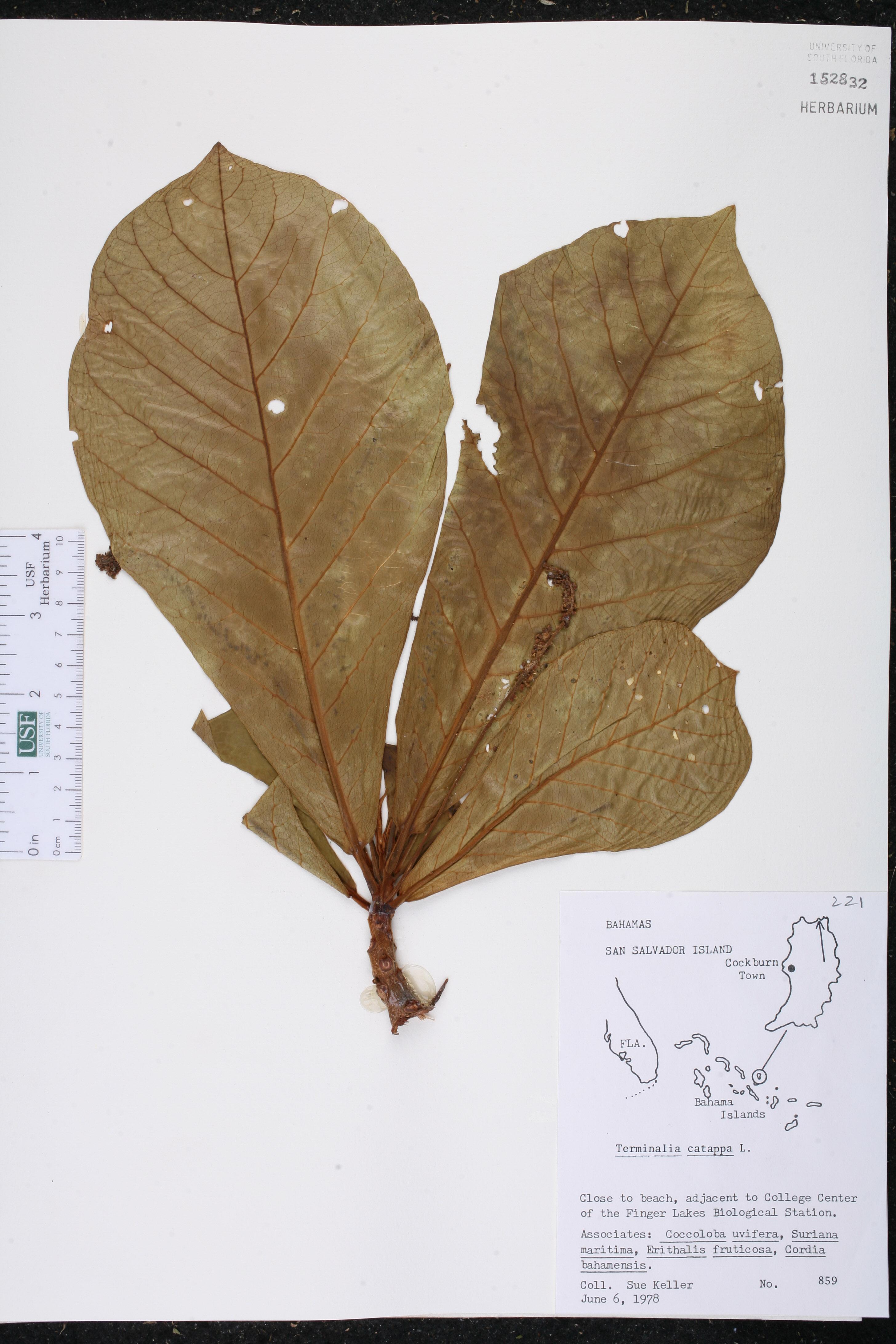 Herbarium Specimen Details - ISB: Atlas of Florida Plants
