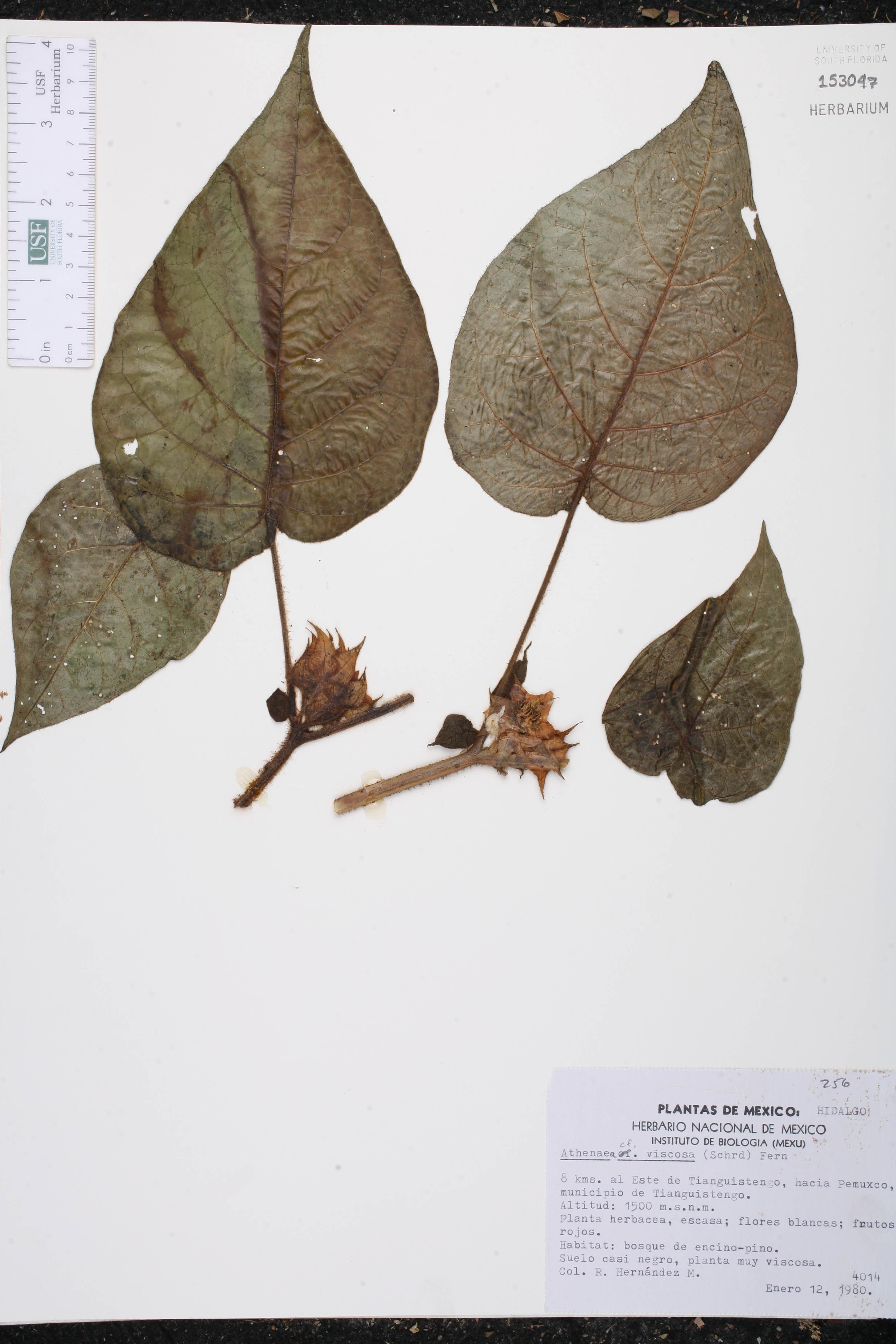 Athenaea viscosa image