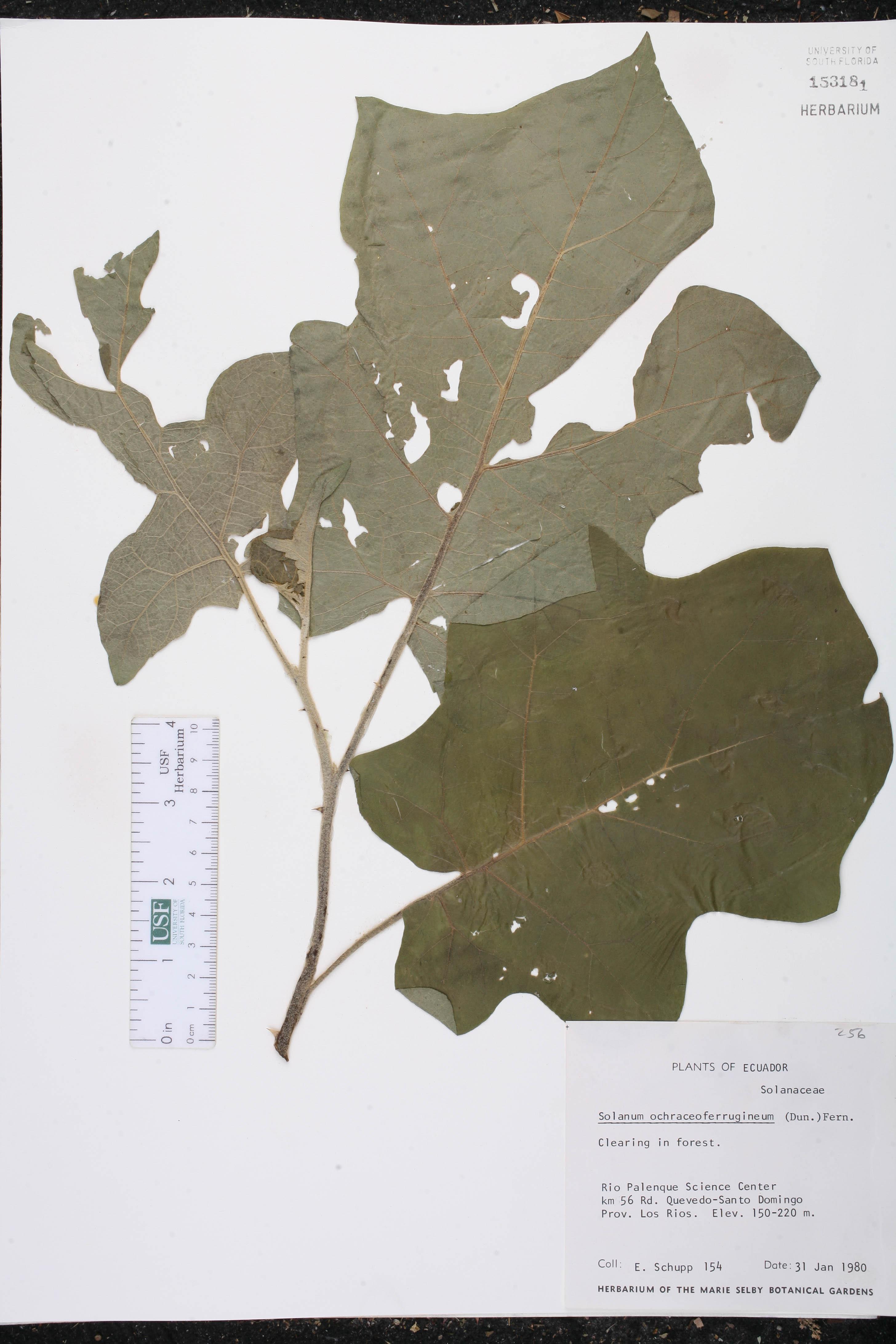 Solanum ochraceoferrugineum image