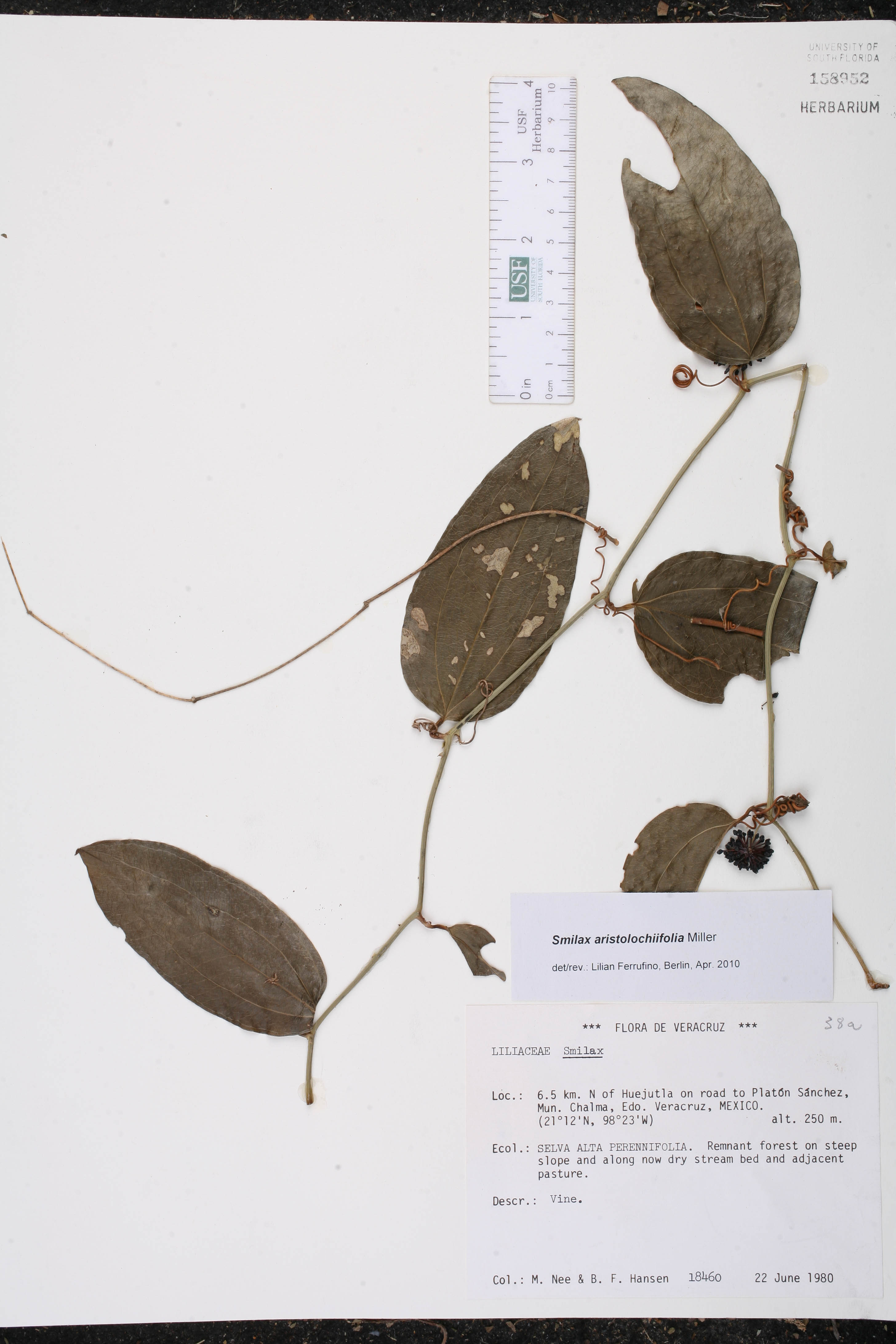 Smilax aristolochiifolia image