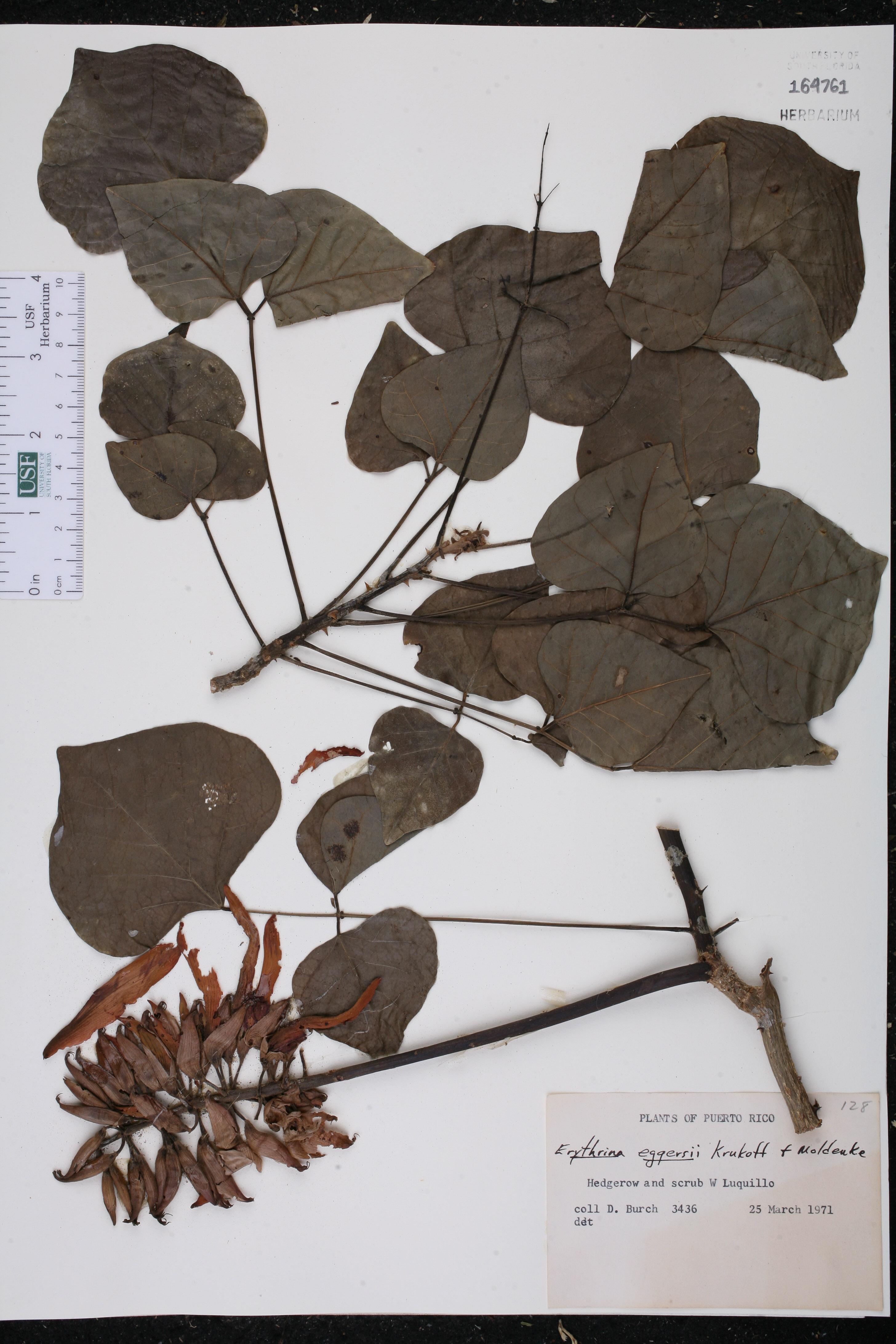 Erythrina eggersii image