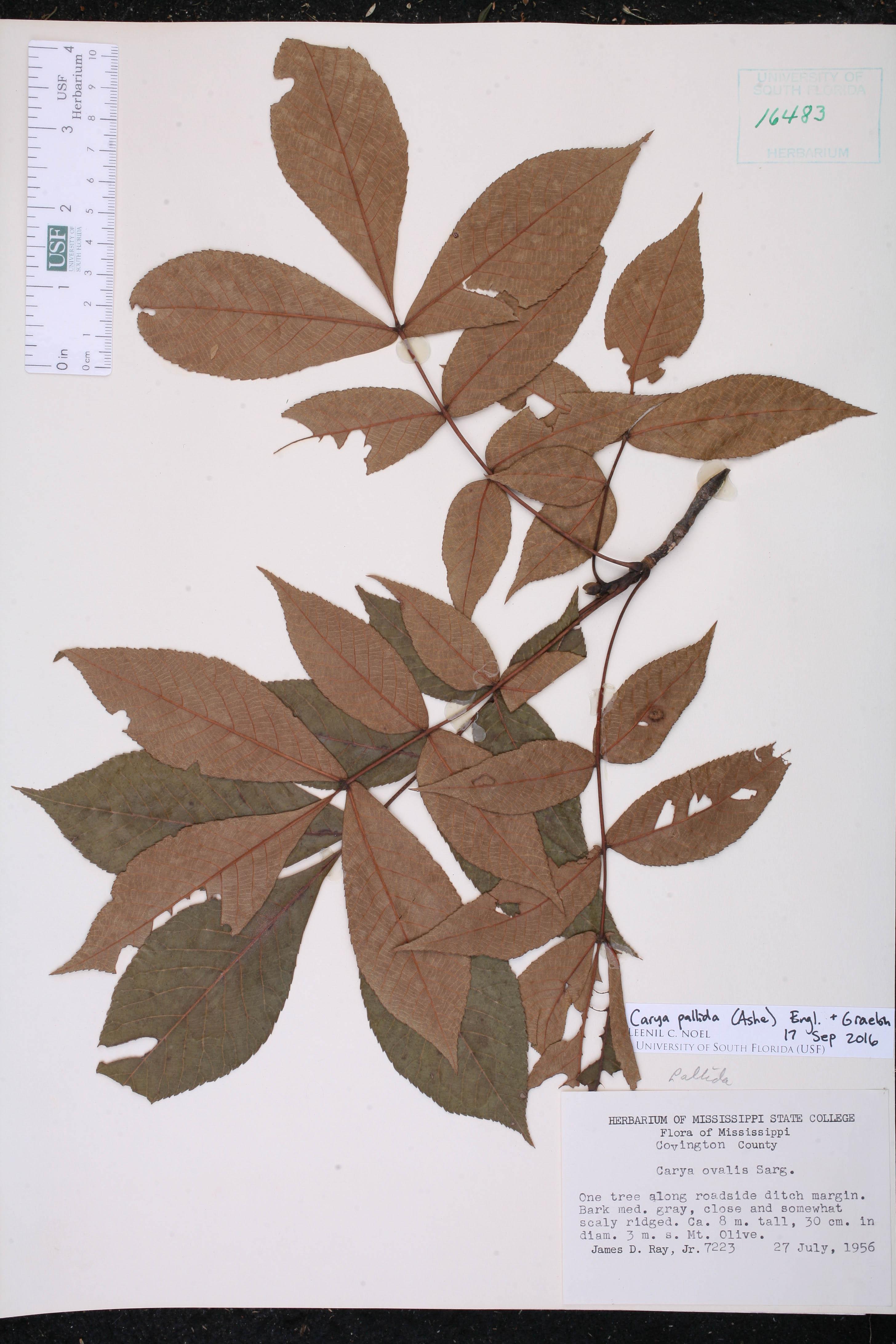 Carya pallida - Species Page - ISB: Atlas of Florida Plants