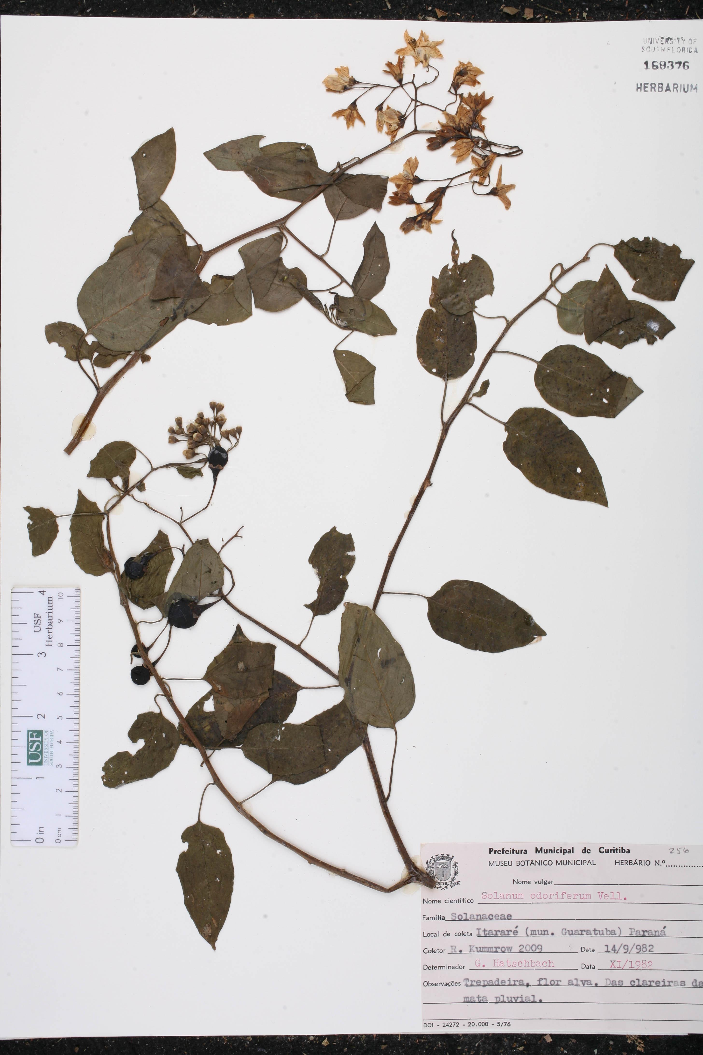 Solanum odoriferum image