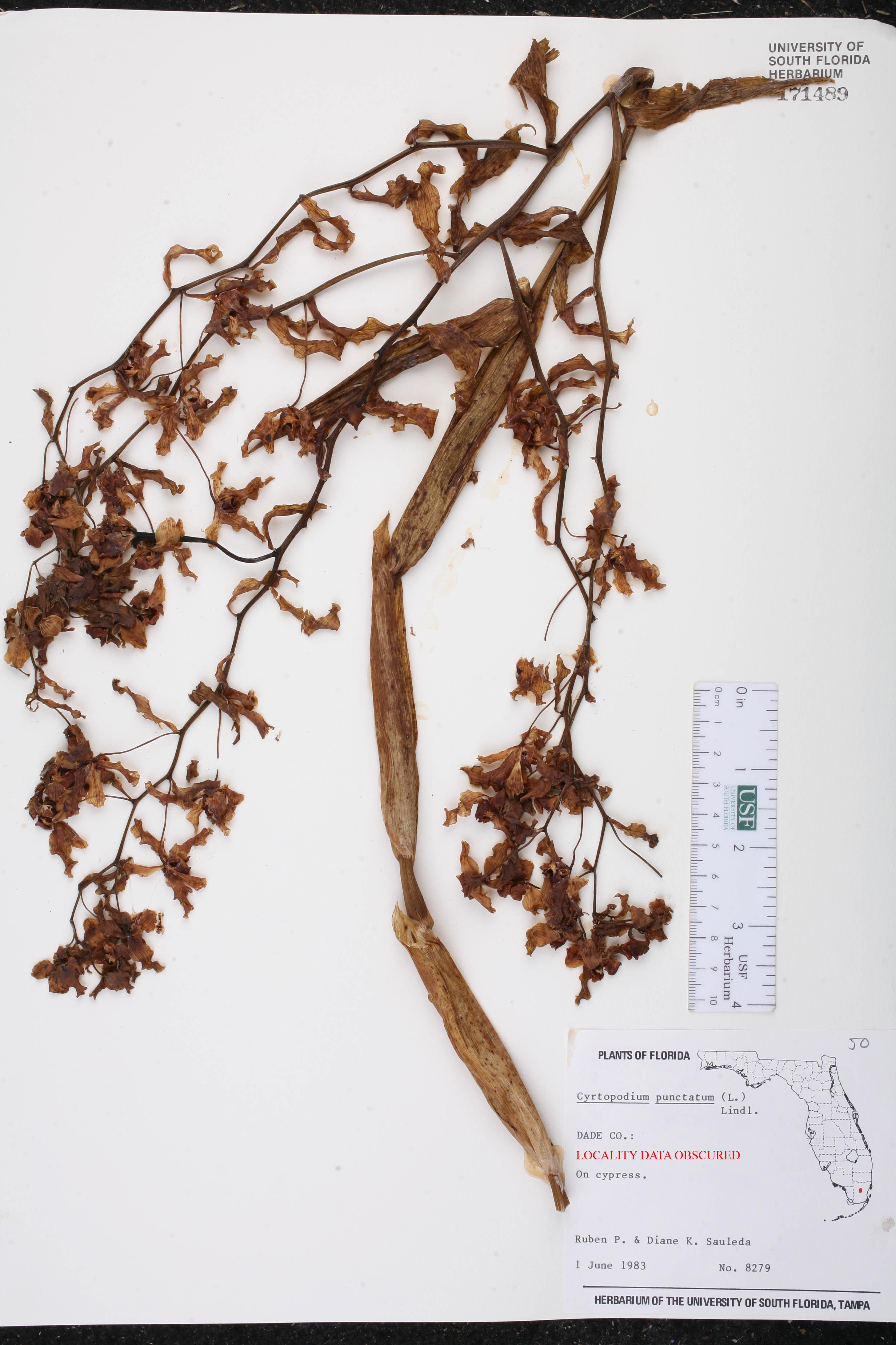 Cyrtopodium punctatum image