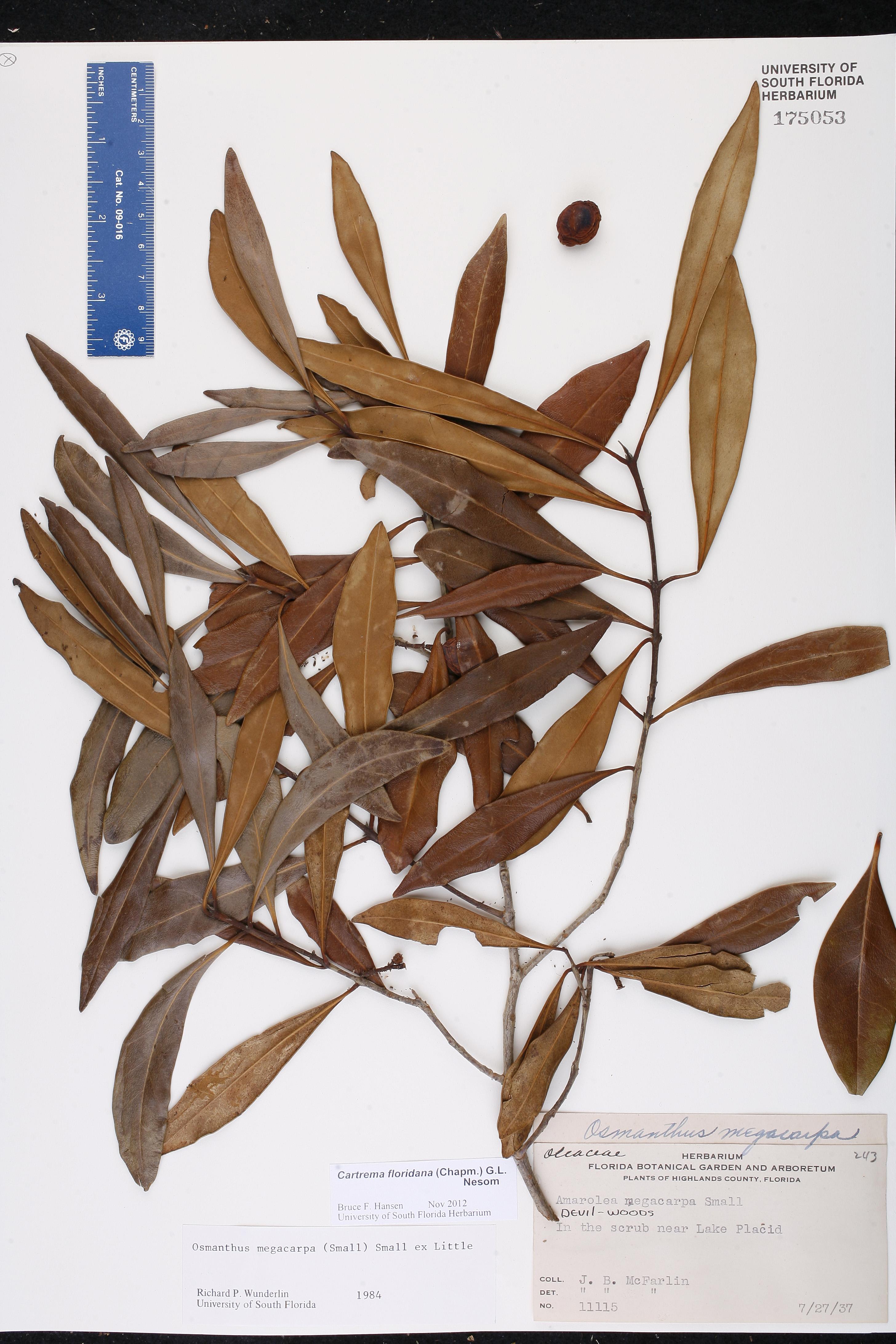 Cartrema floridanum - Species Page - ISB: Atlas of Florida Plants
