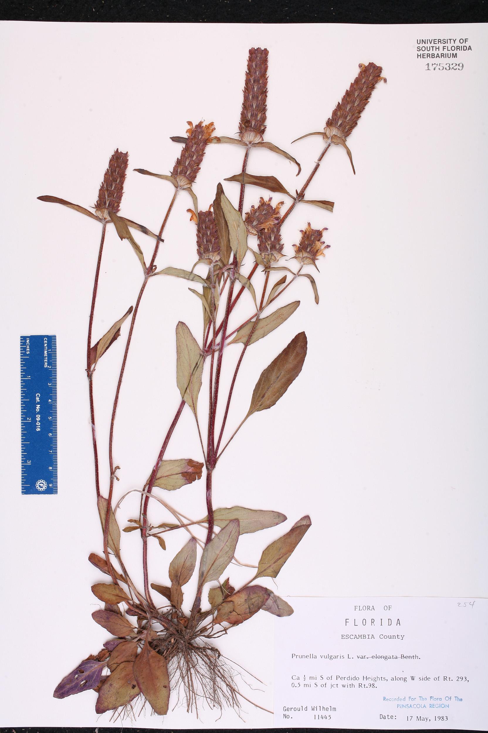 Prunella vulgaris - Species Page - ISB: Atlas of Florida Plants