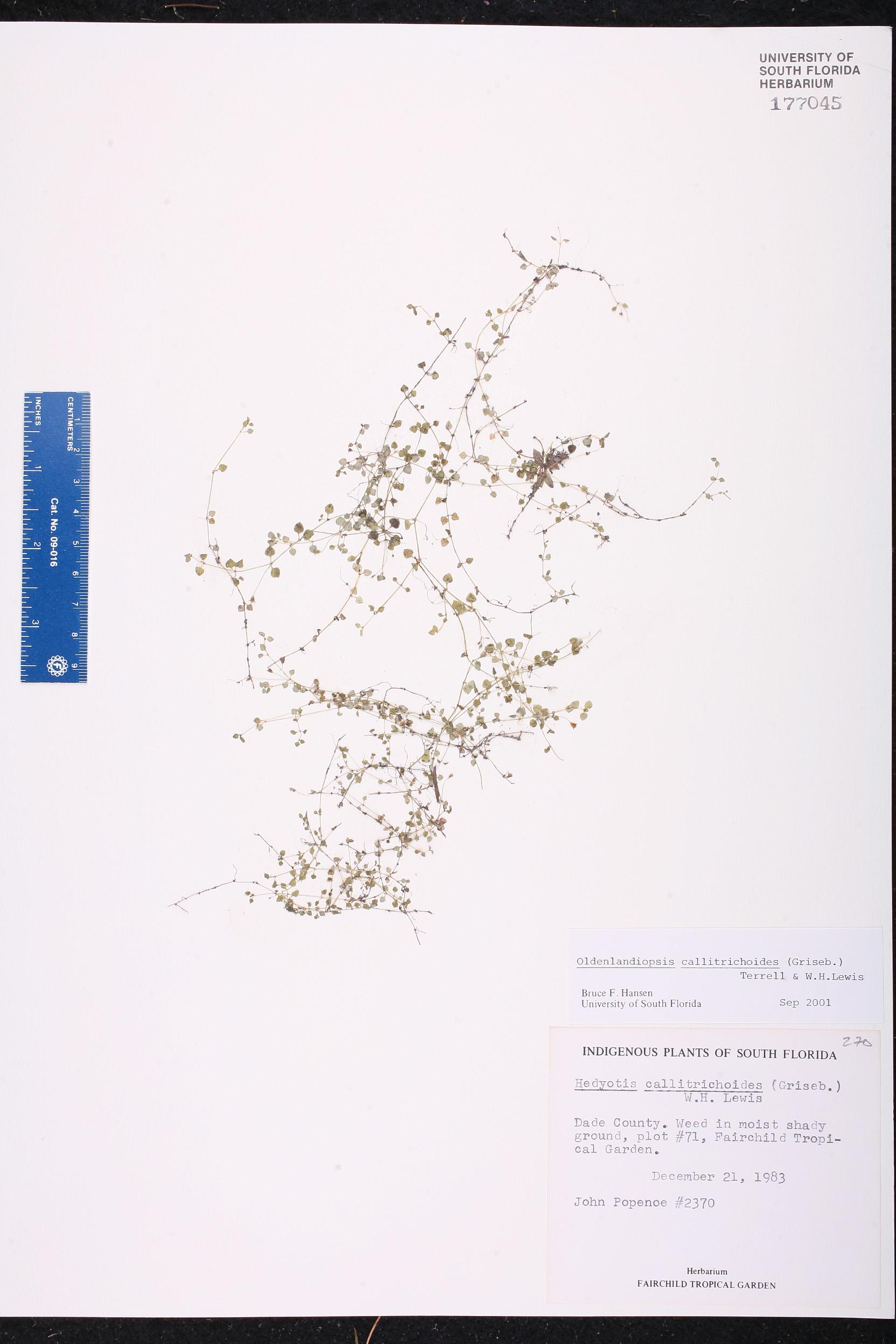 Oldenlandiopsis callitrichoides image