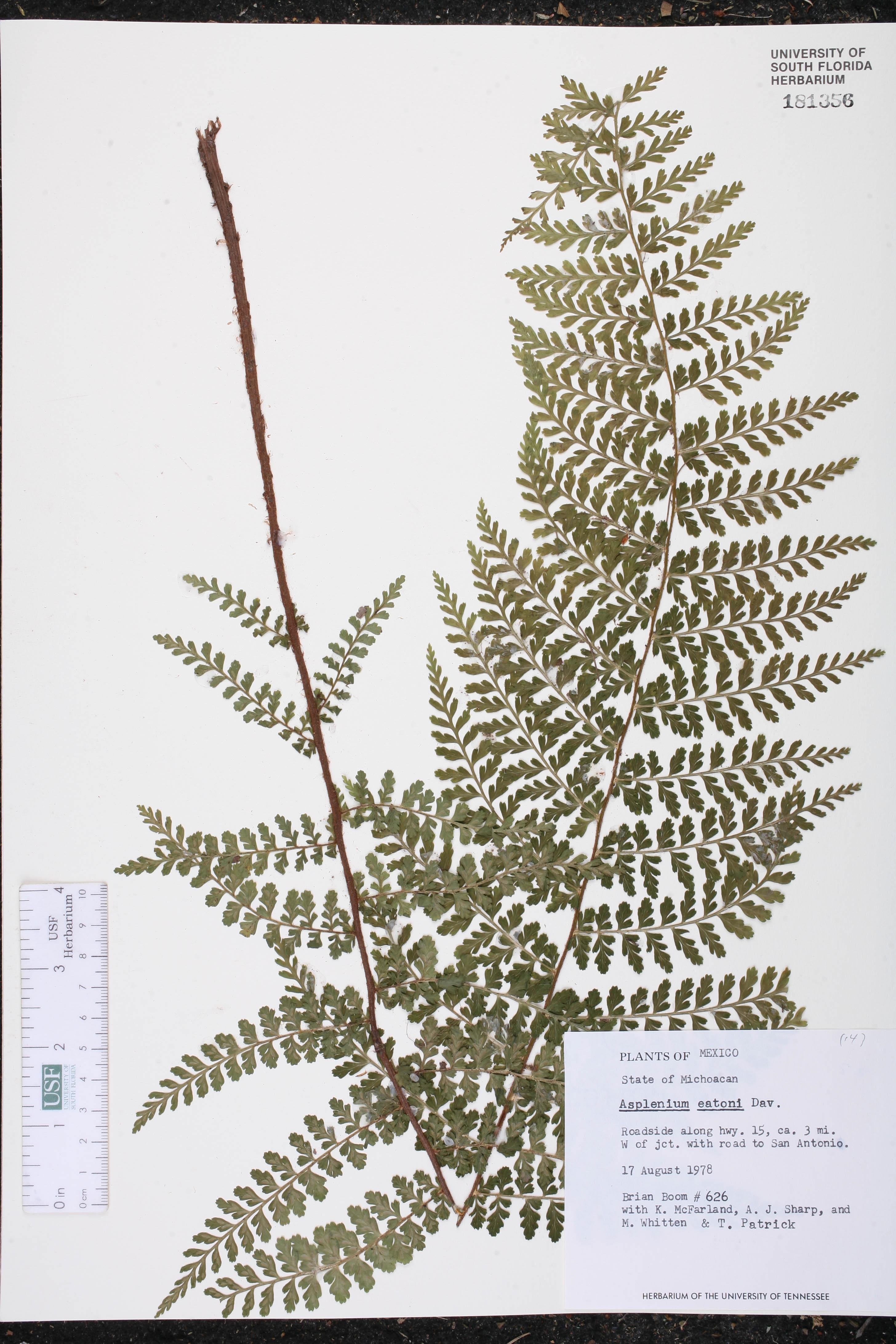 Asplenium eatonii image