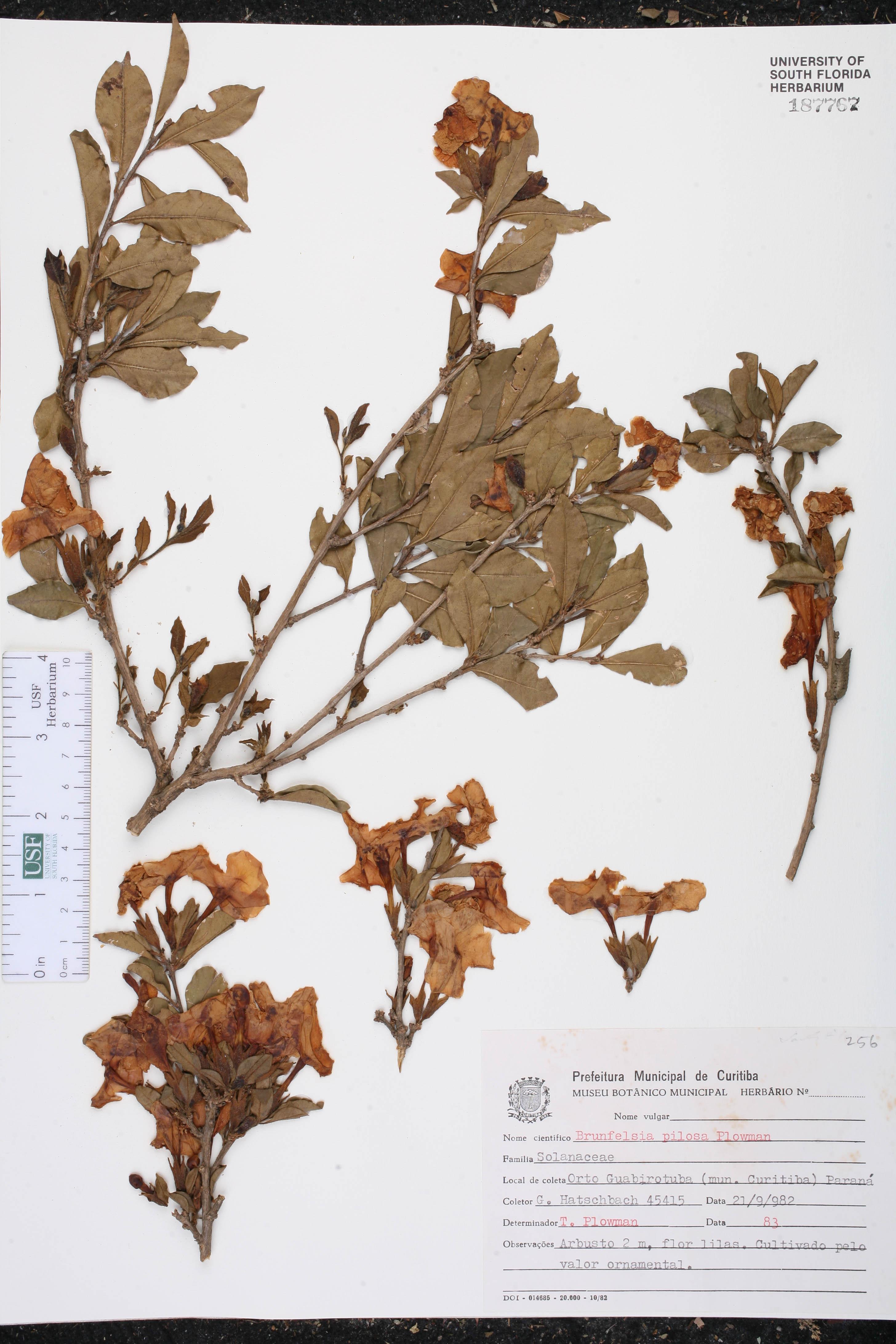Brunfelsia pilosa image