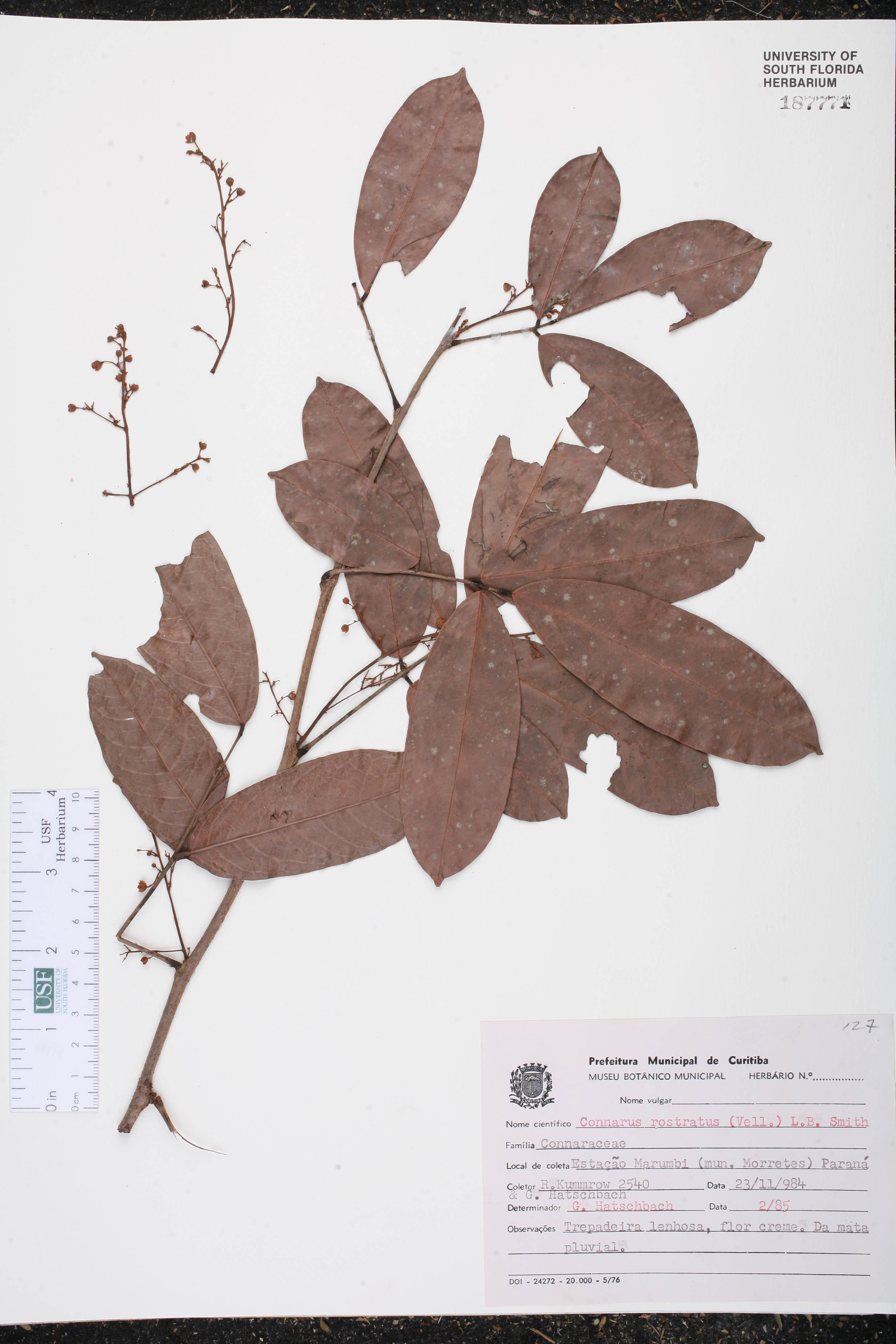 Connarus rostratus image