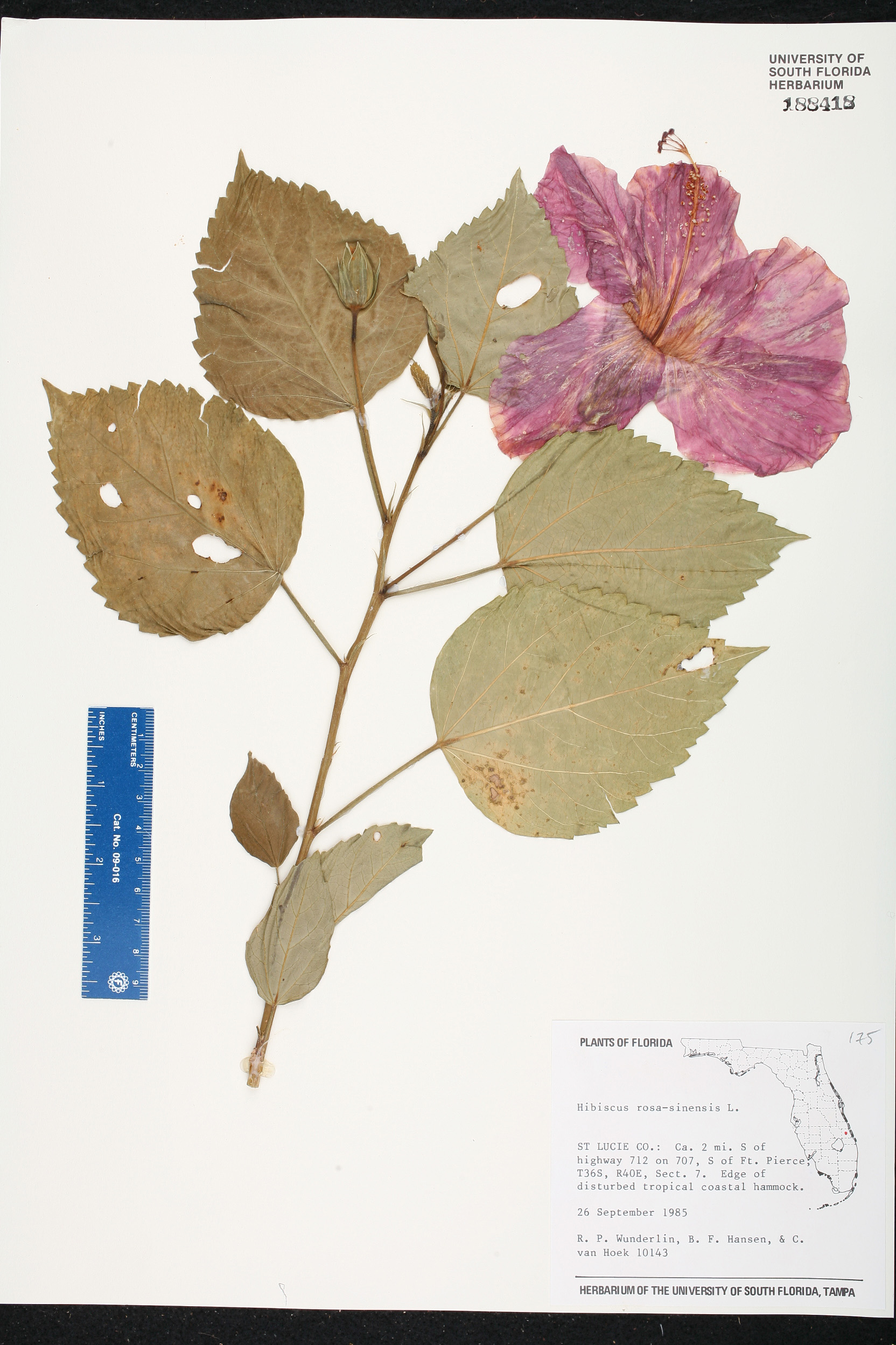 Herbarium specimen details isb atlas of florida plants family name izmirmasajfo Gallery