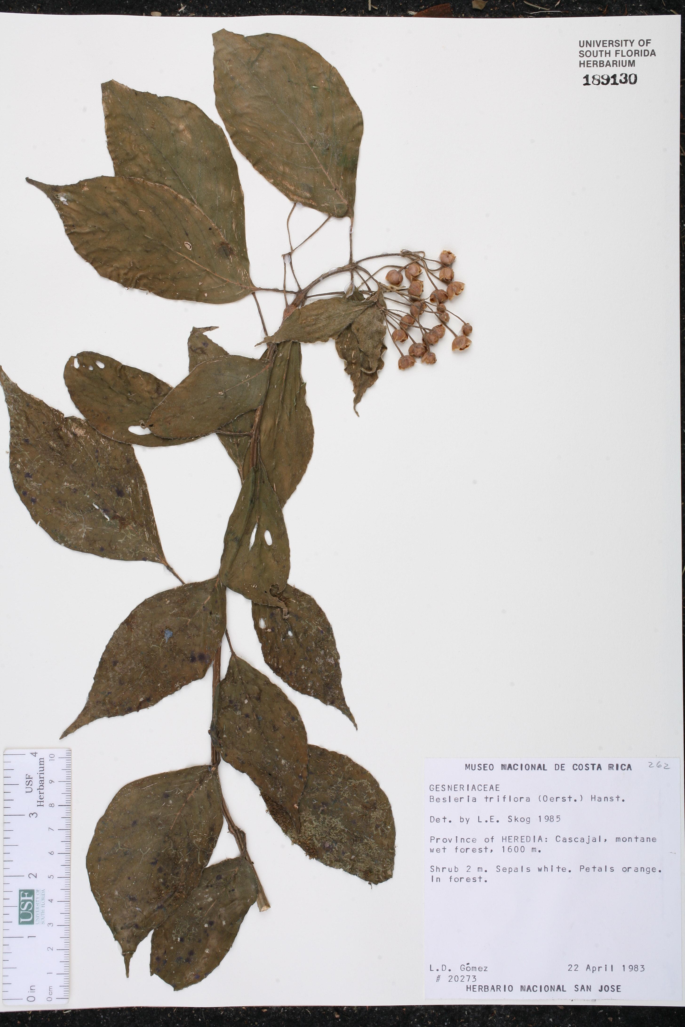 Besleria triflora image