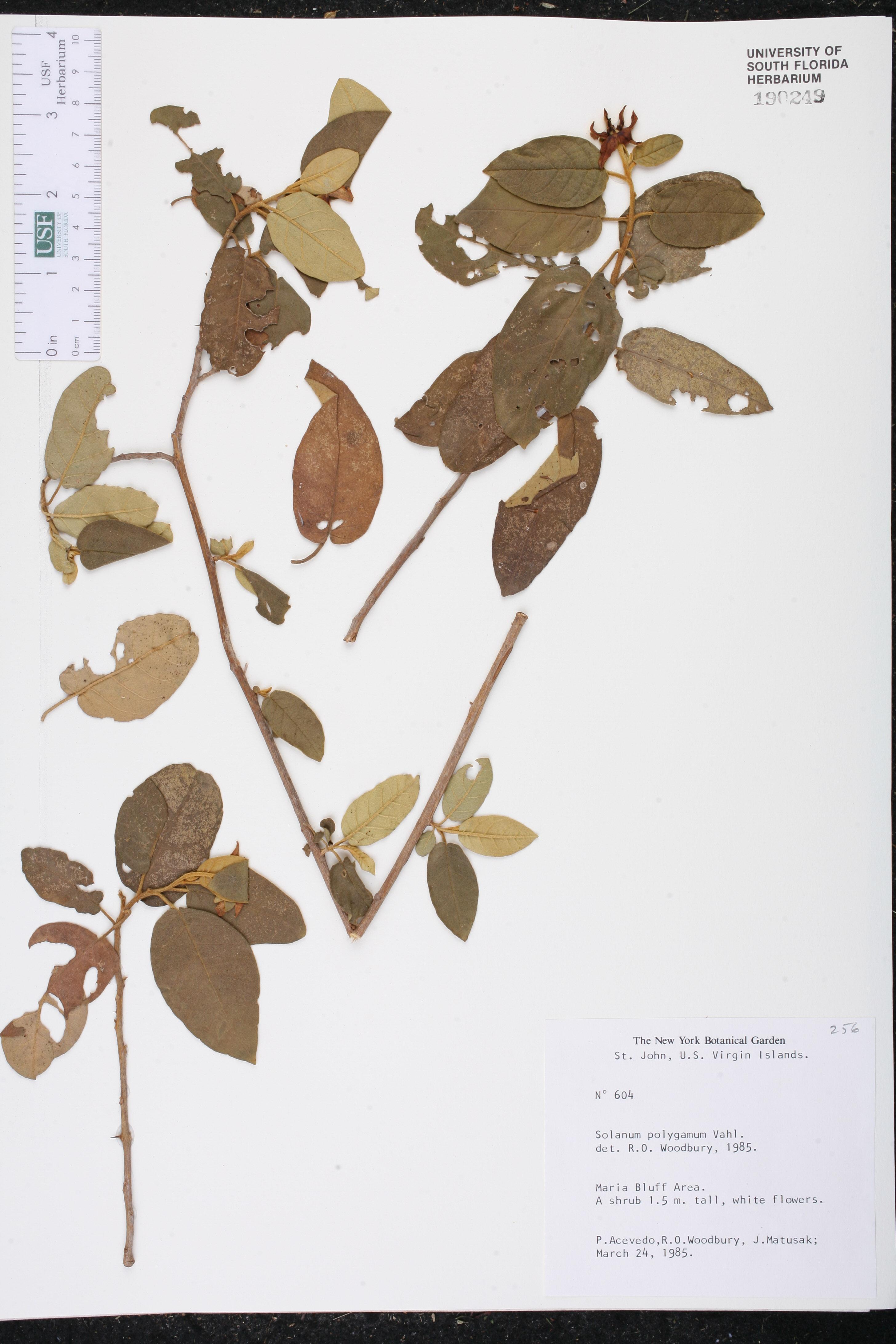 Solanum polygamum image