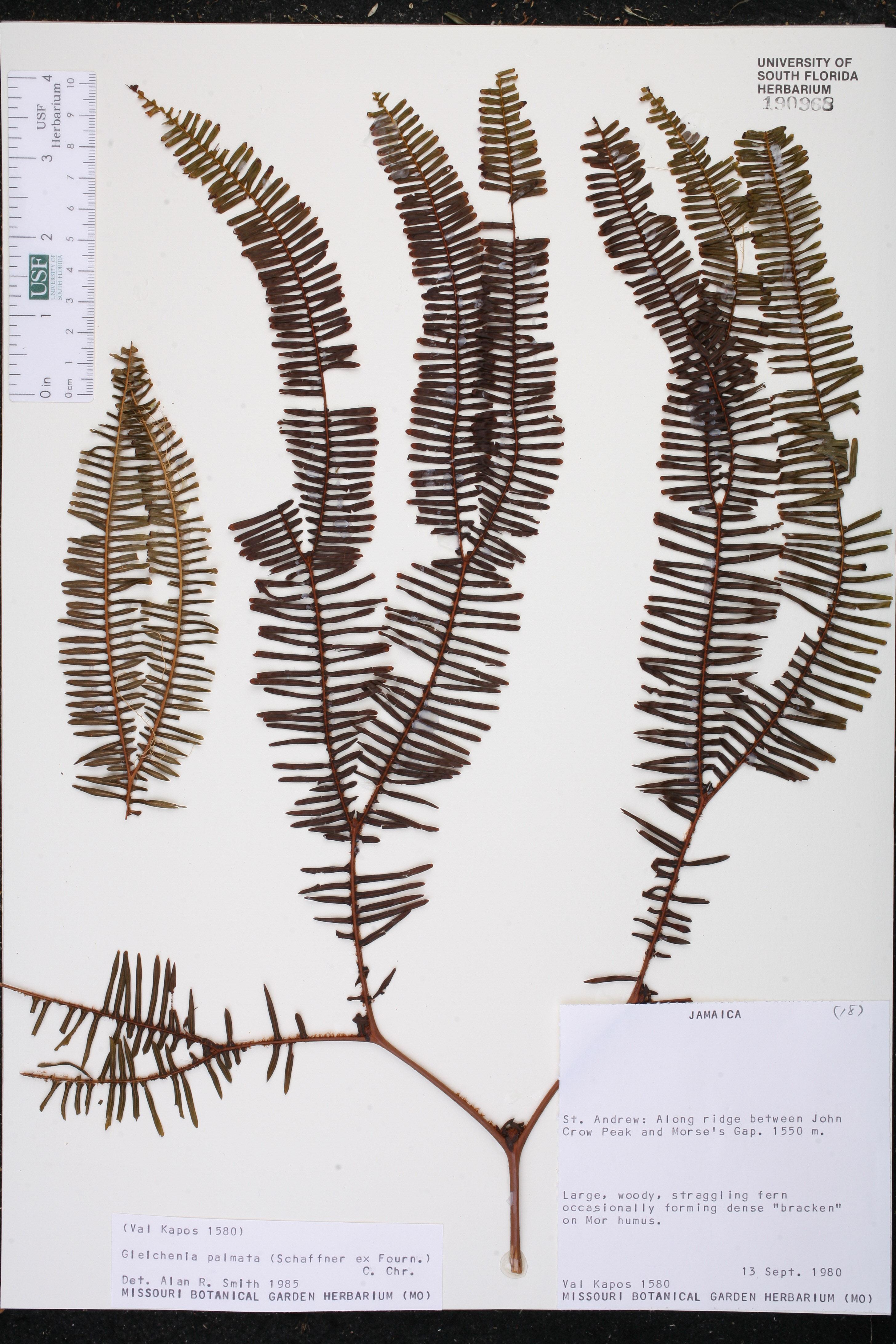 Gleichenia palmata image
