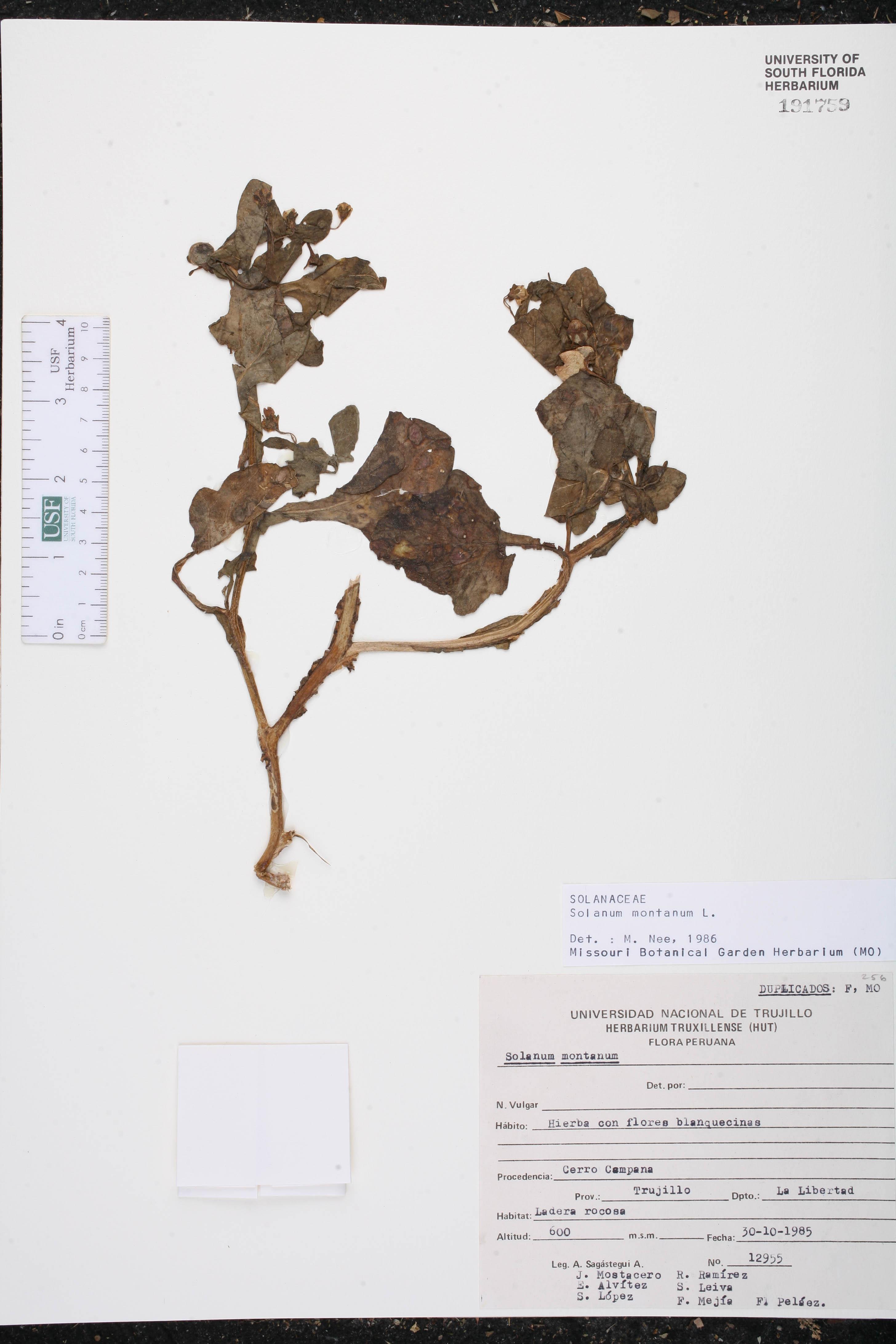 Solanum montanum image