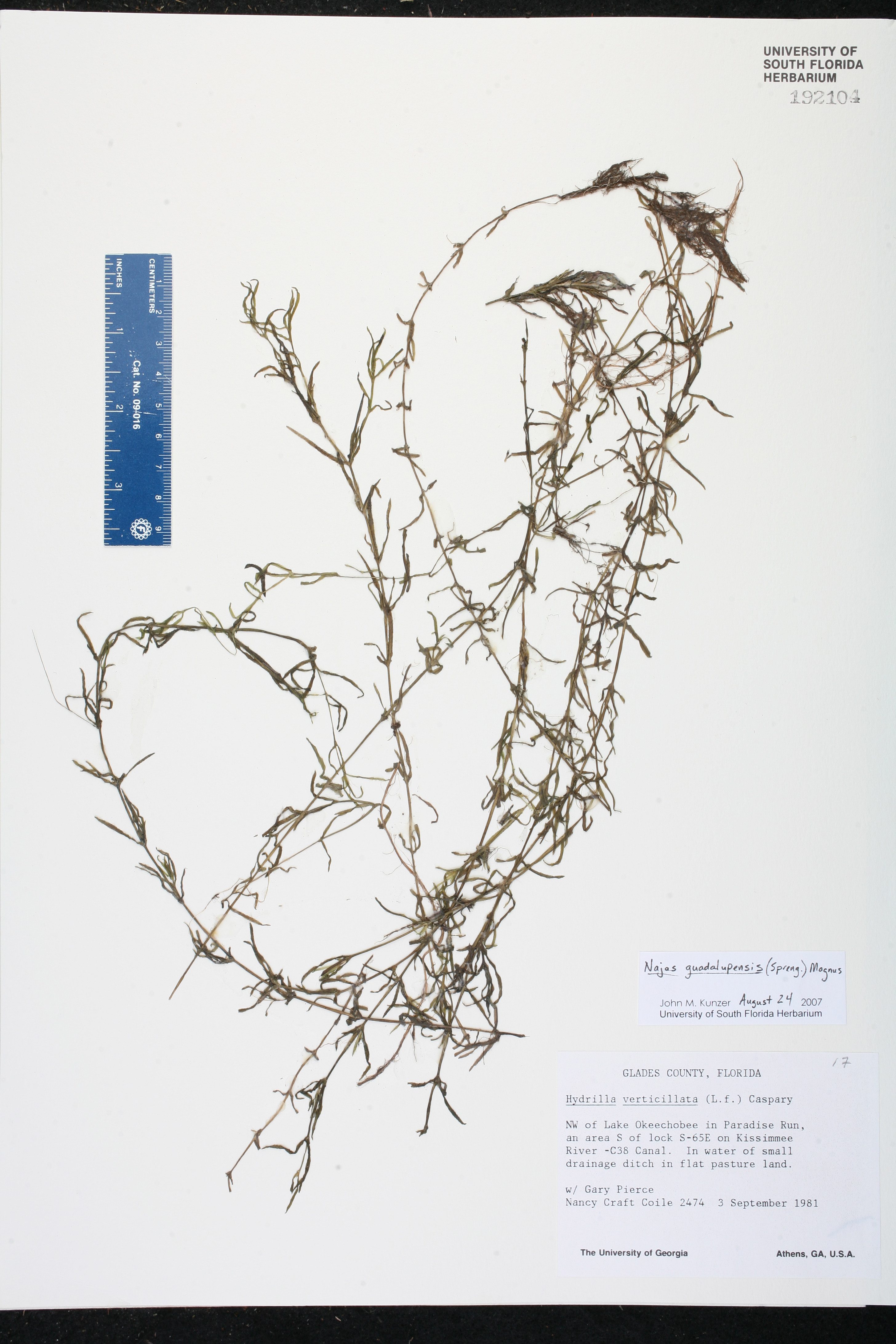Najas guadalupensis species page isb atlas of florida plants usa pooptronica