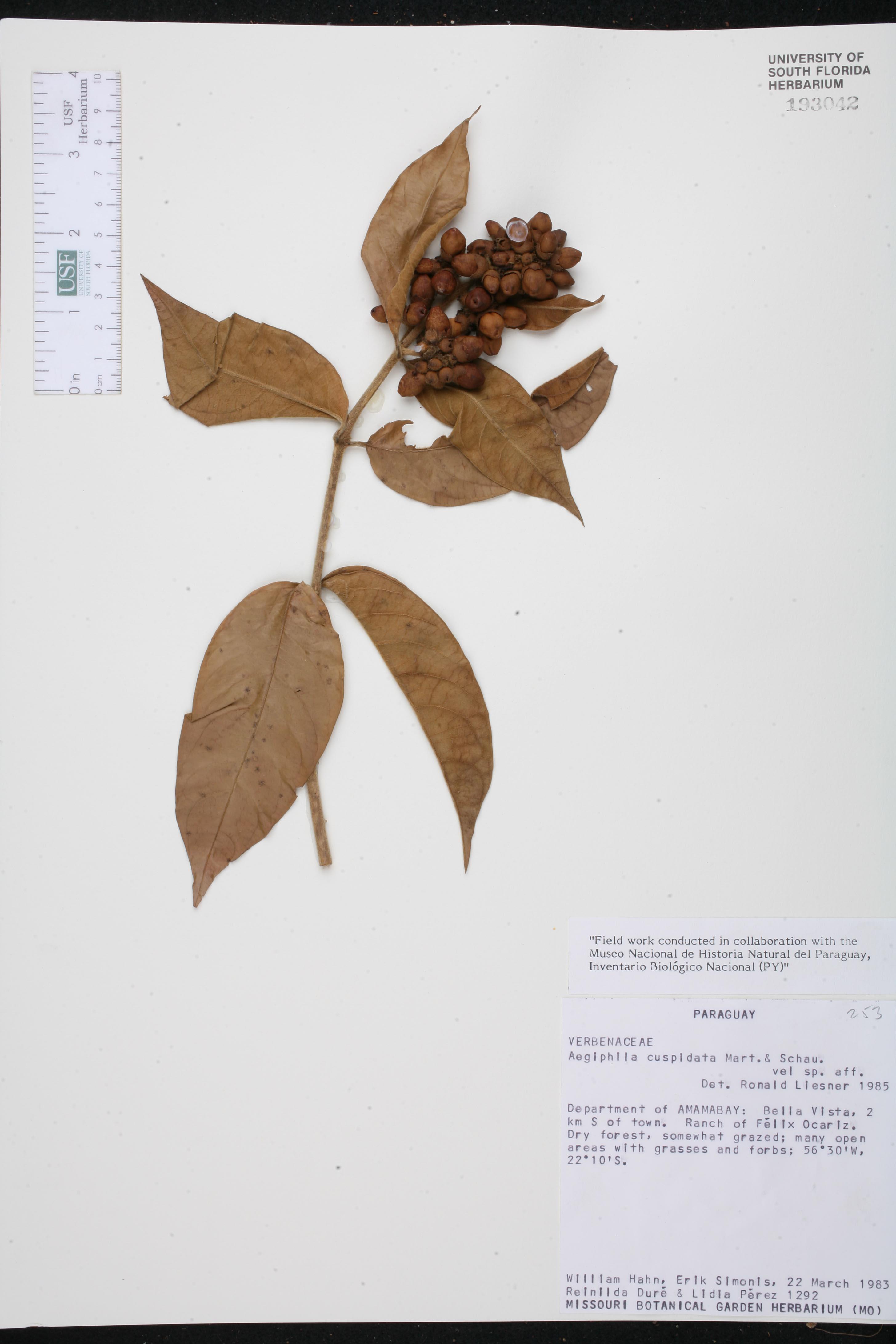 Aegiphila vitelliniflora image