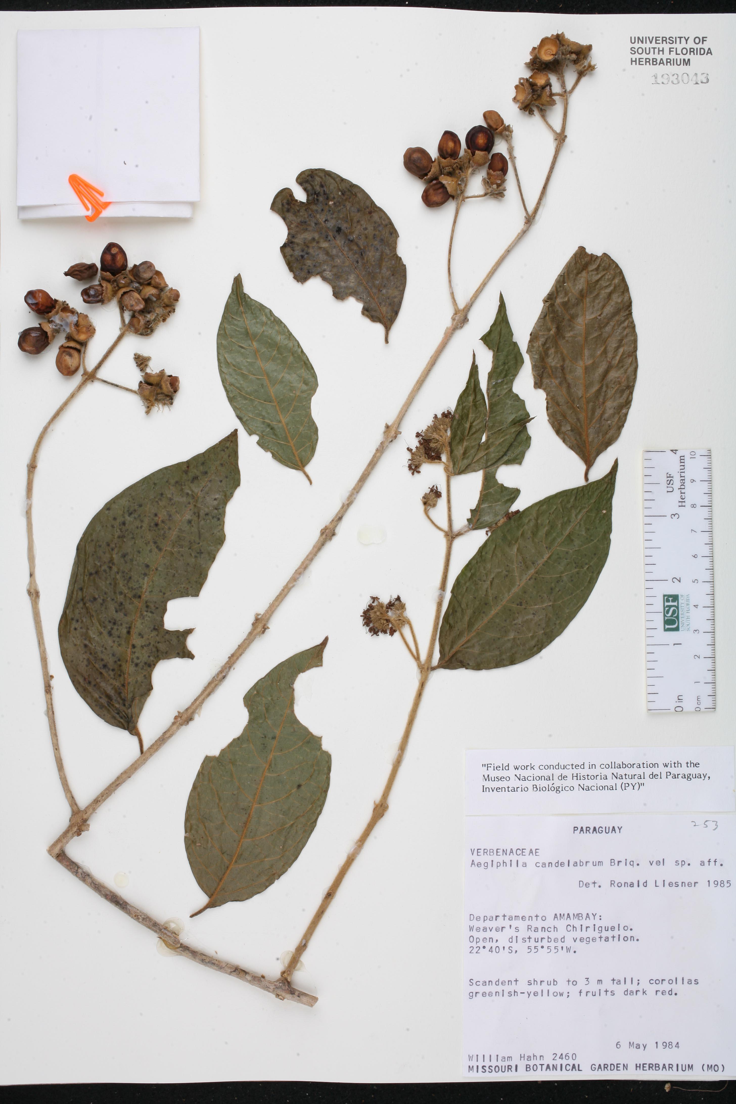 Aegiphila candelabrum image