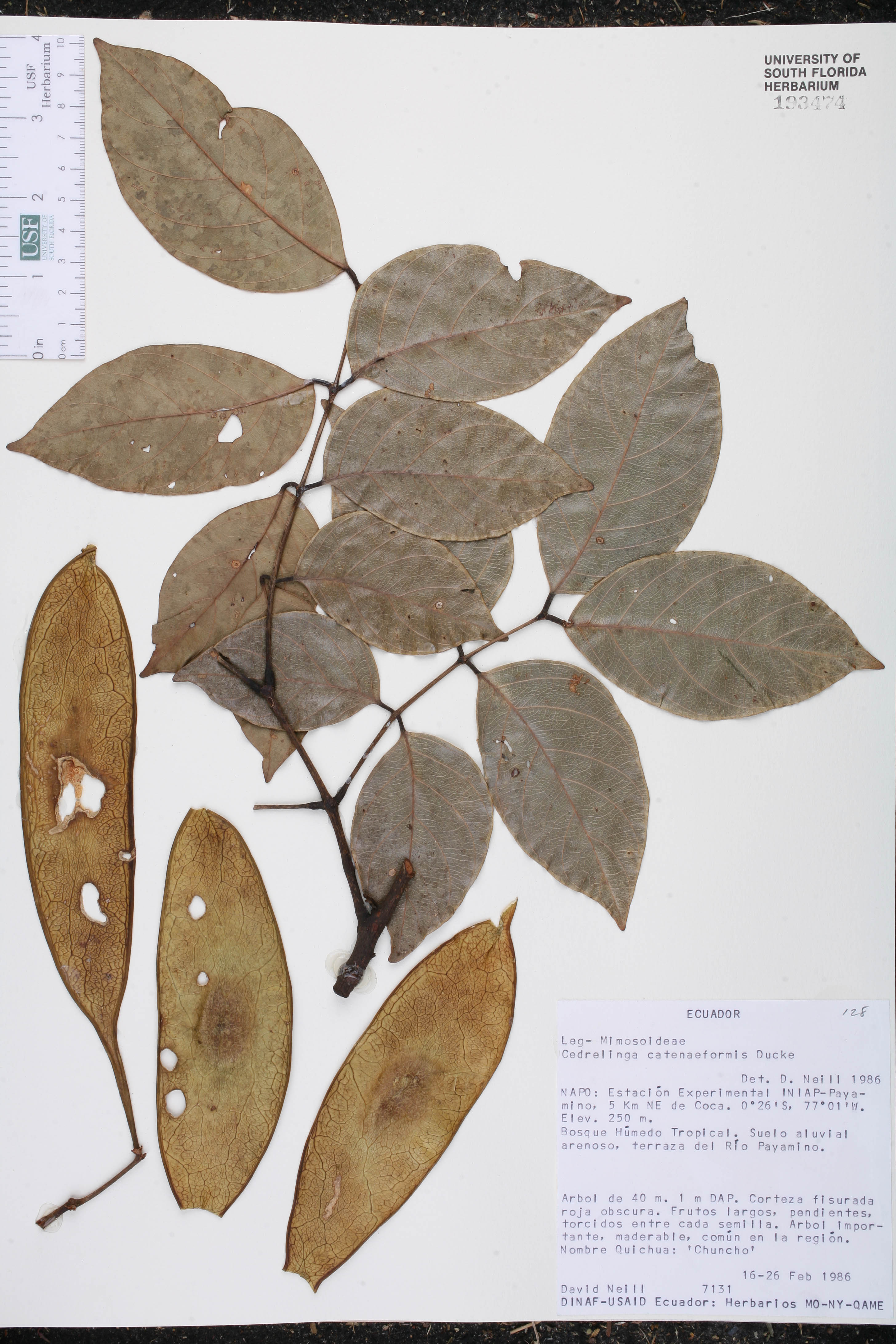 Cedrelinga cateniformis image