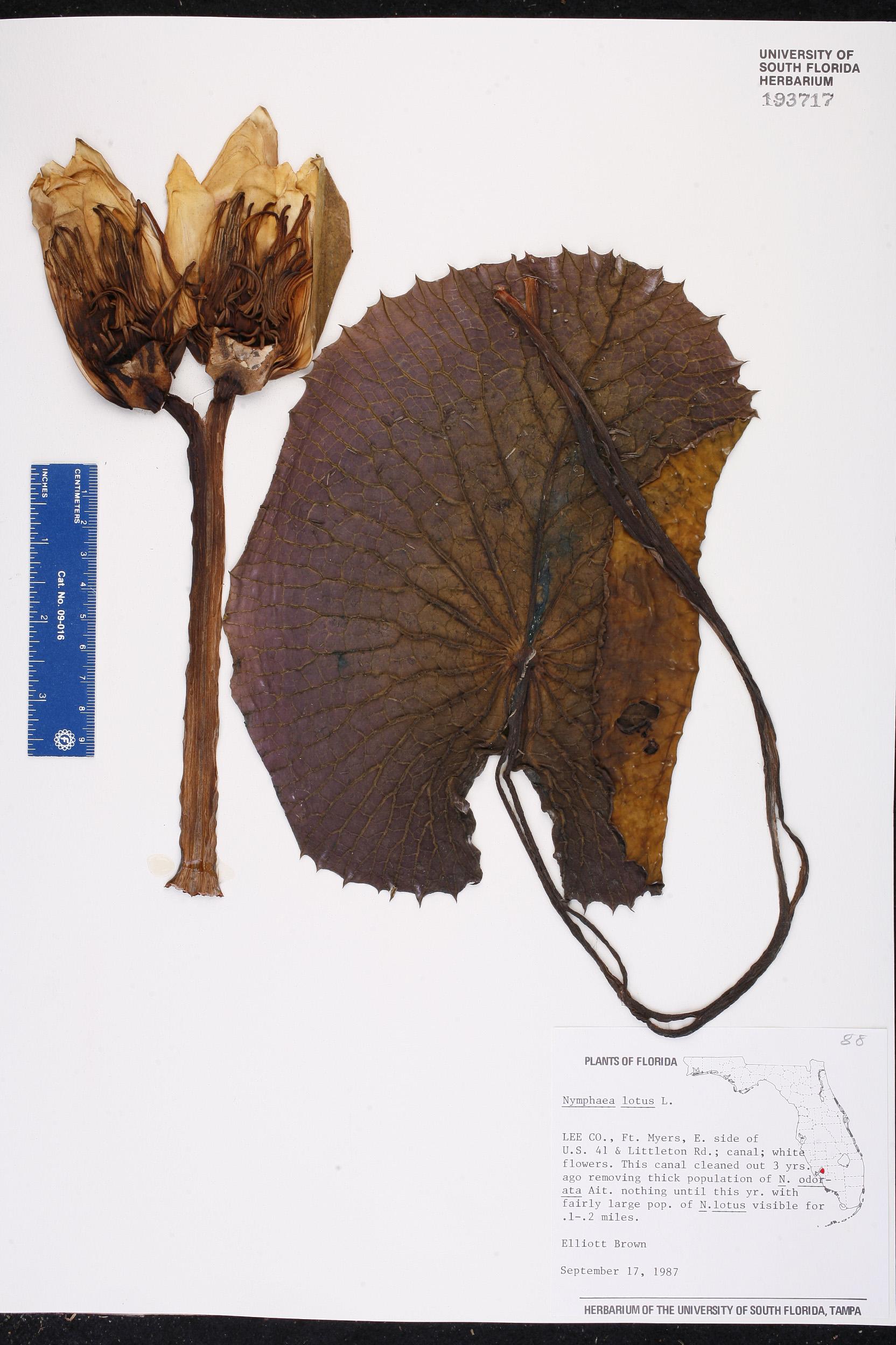 Nymphaea lotus image