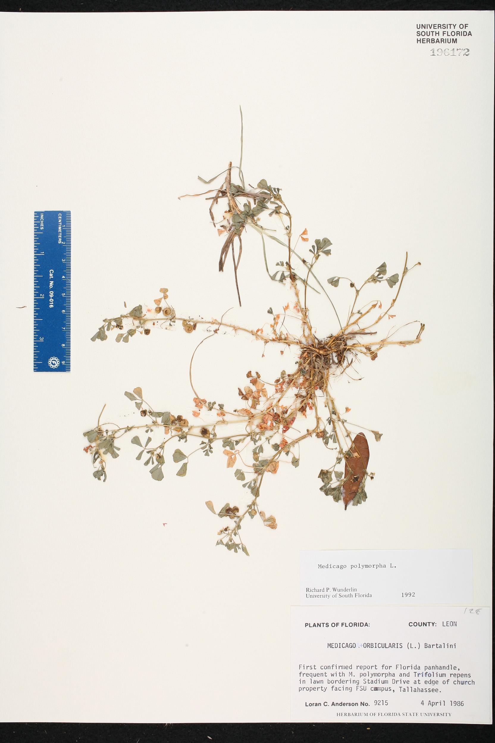 Herbarium Specimen Details Isb Atlas Of Florida Plants Loran C Block Diagram Family Name