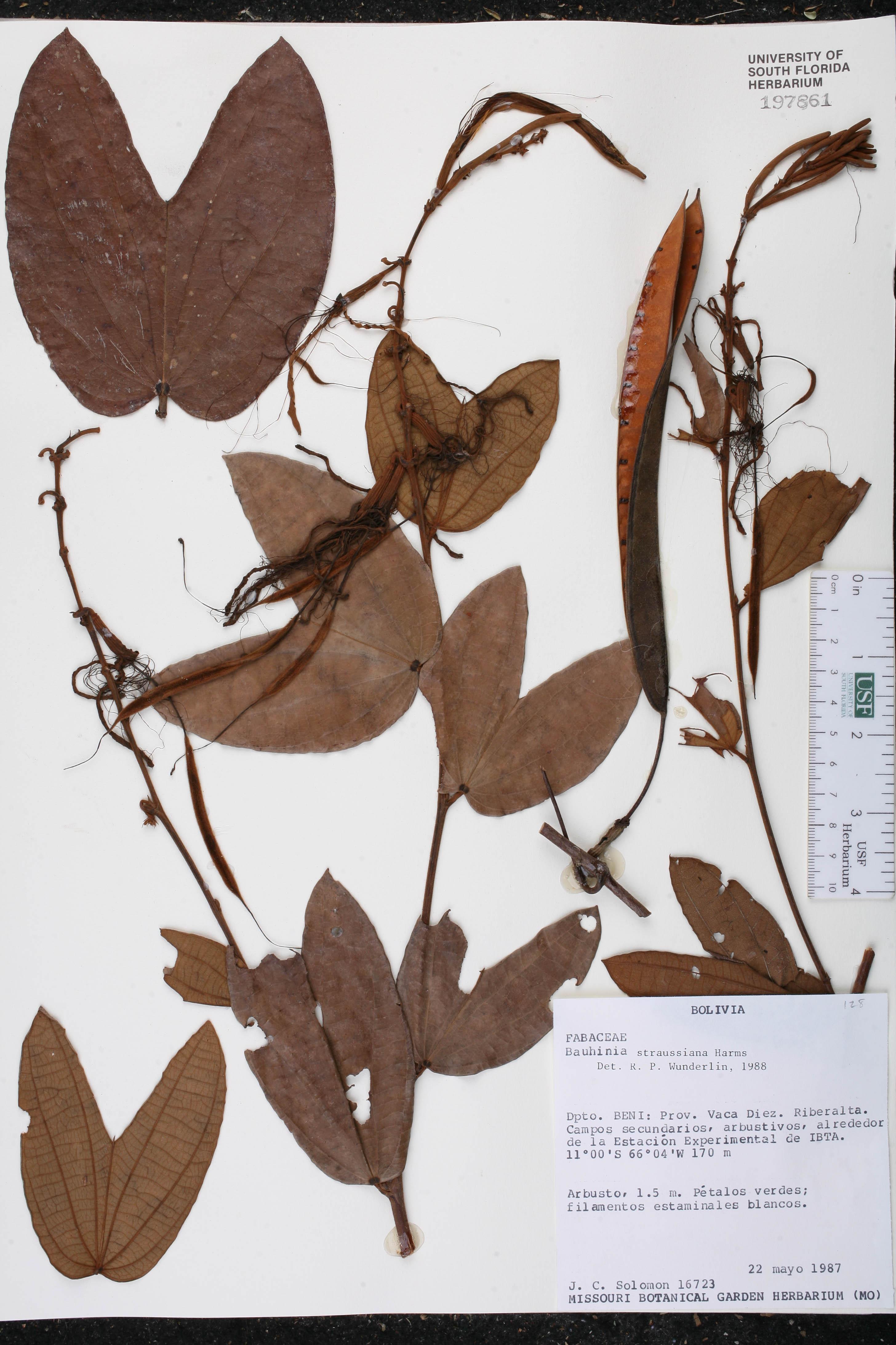 Bauhinia conwayi image