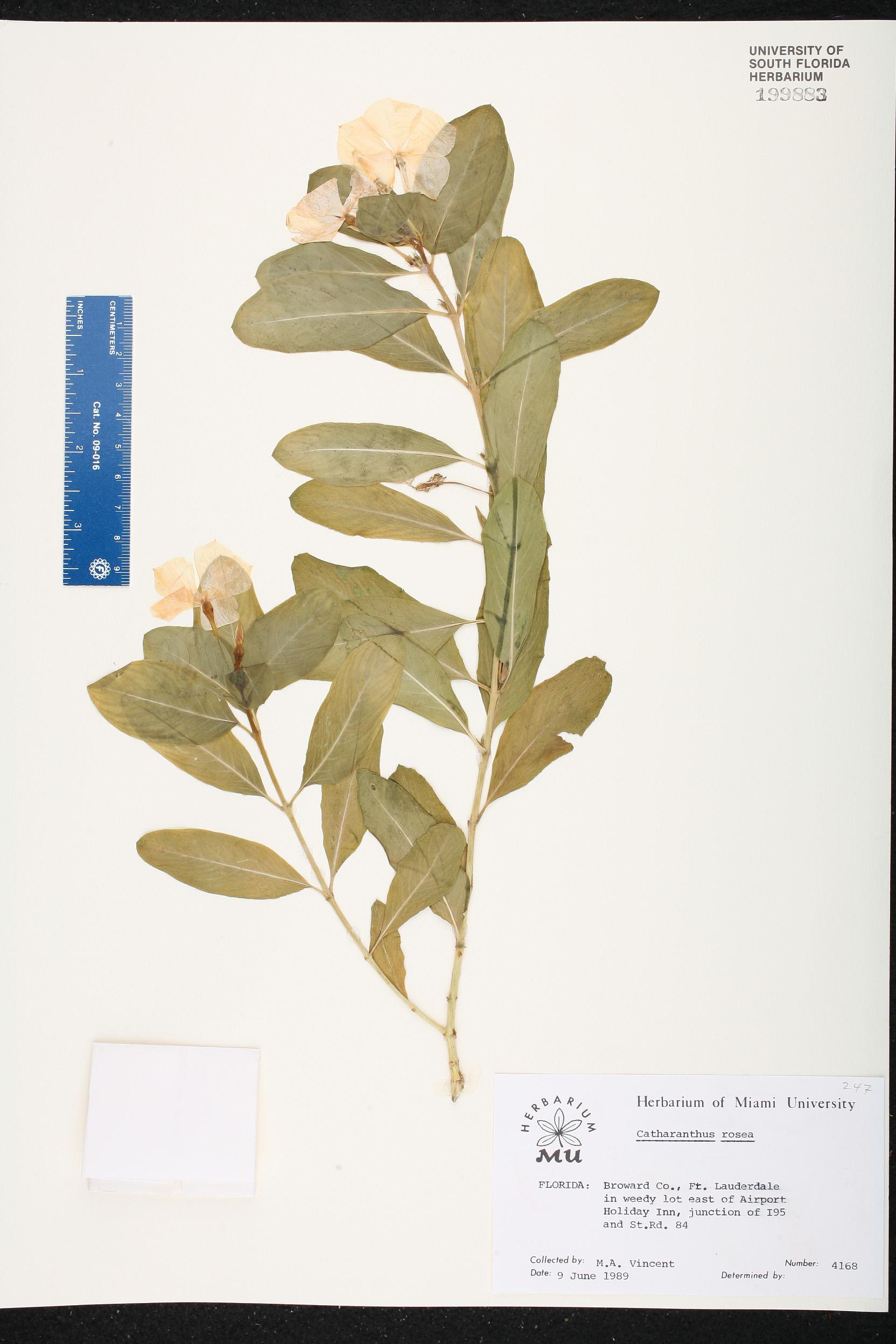 Catharanthus roseus - Species Page - ISB: Atlas of Florida Plants