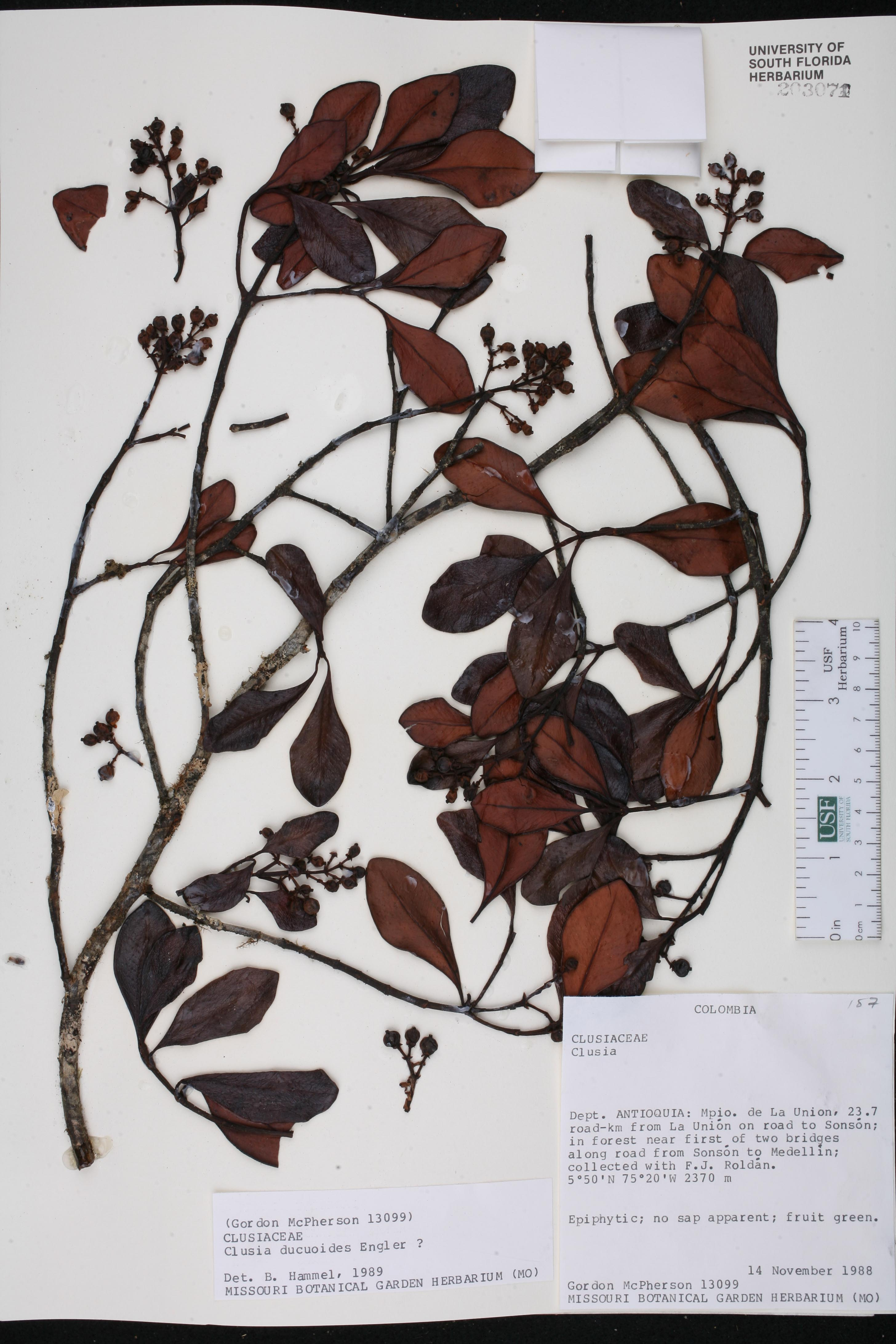 Clusia ducuoides image