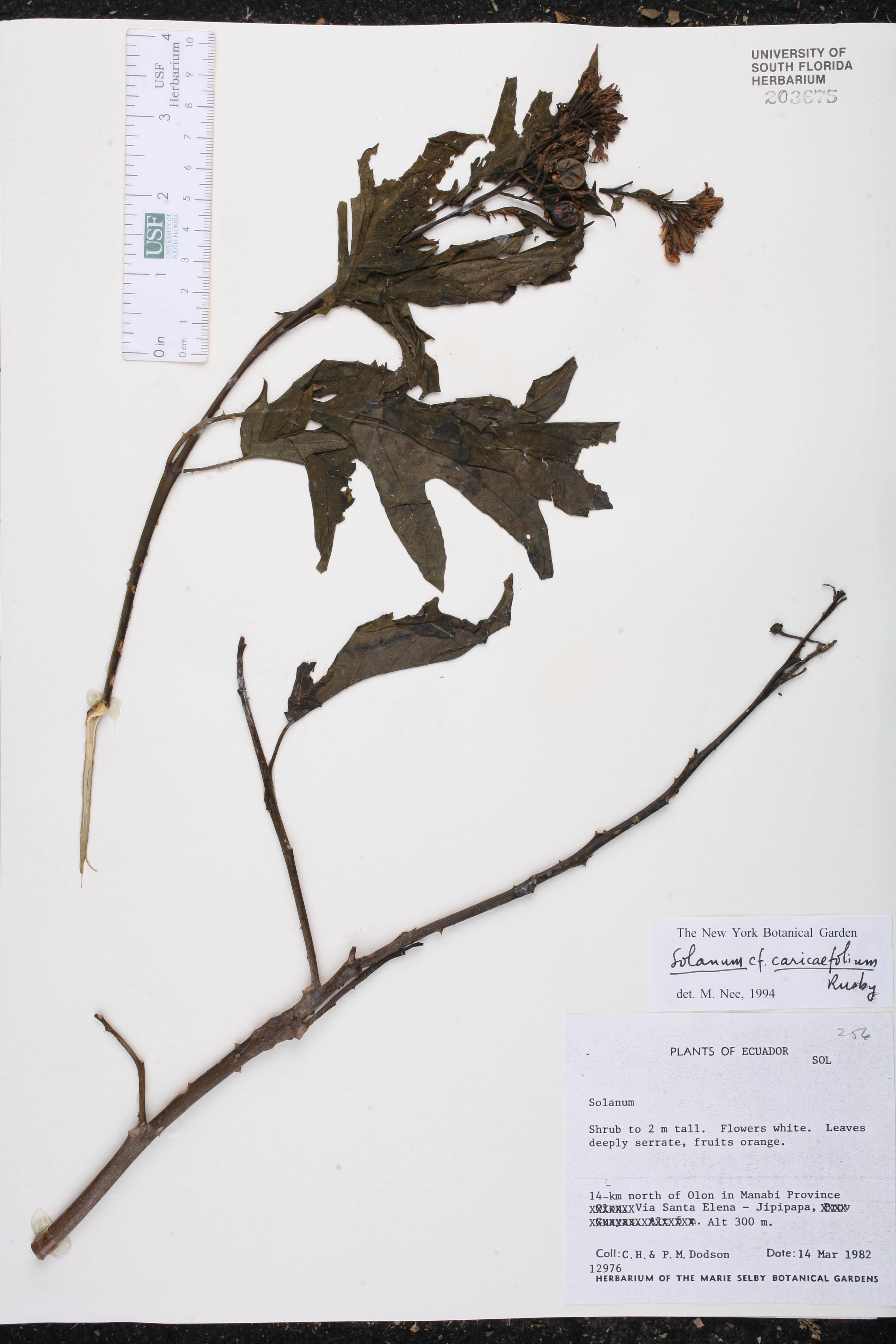 Solanum caricaefolium image