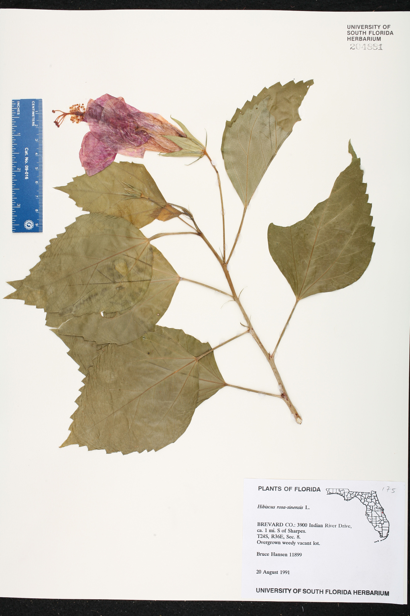 Herbarium specimen details isb atlas of florida plants family name izmirmasajfo