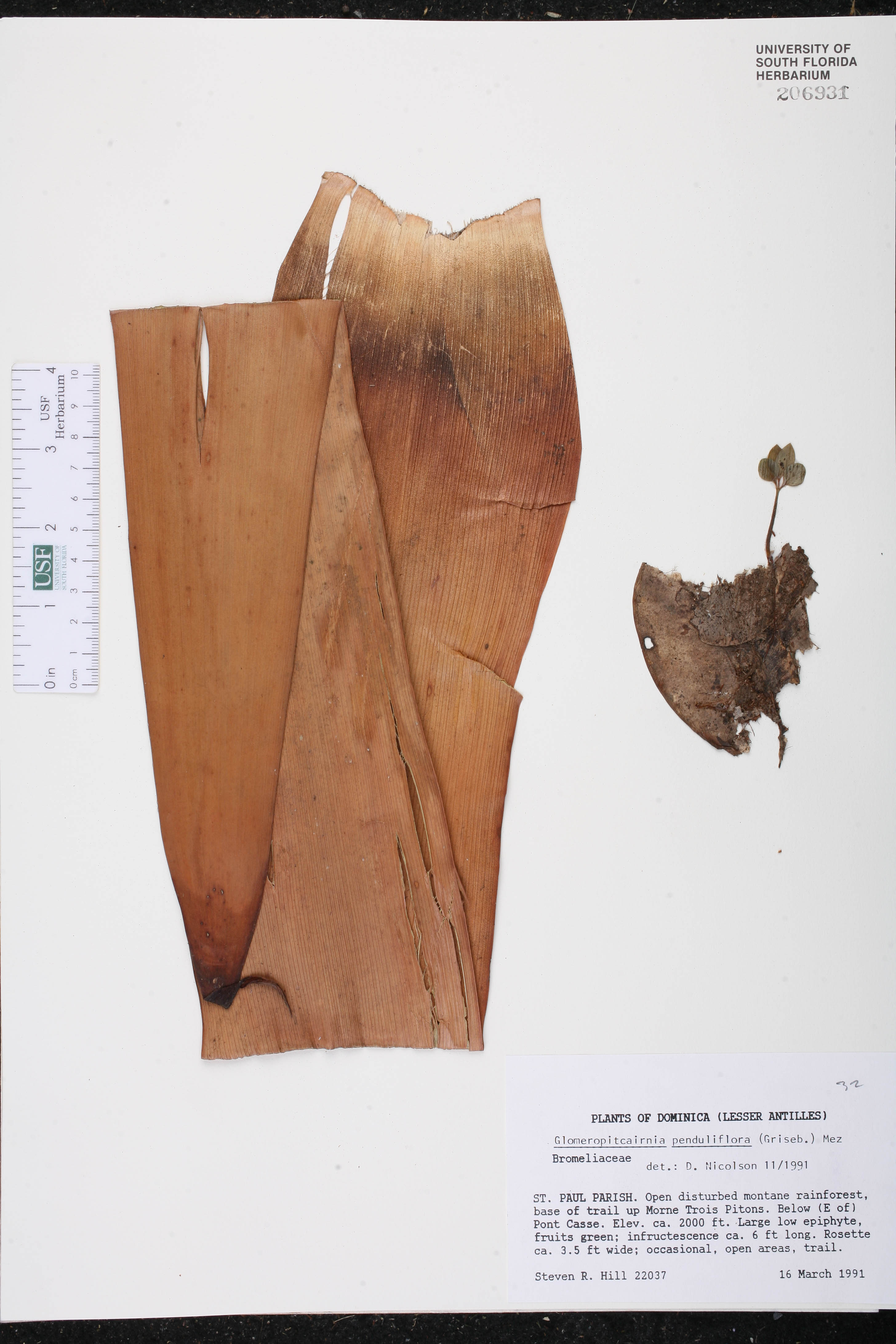 Glomeropitcairnia image