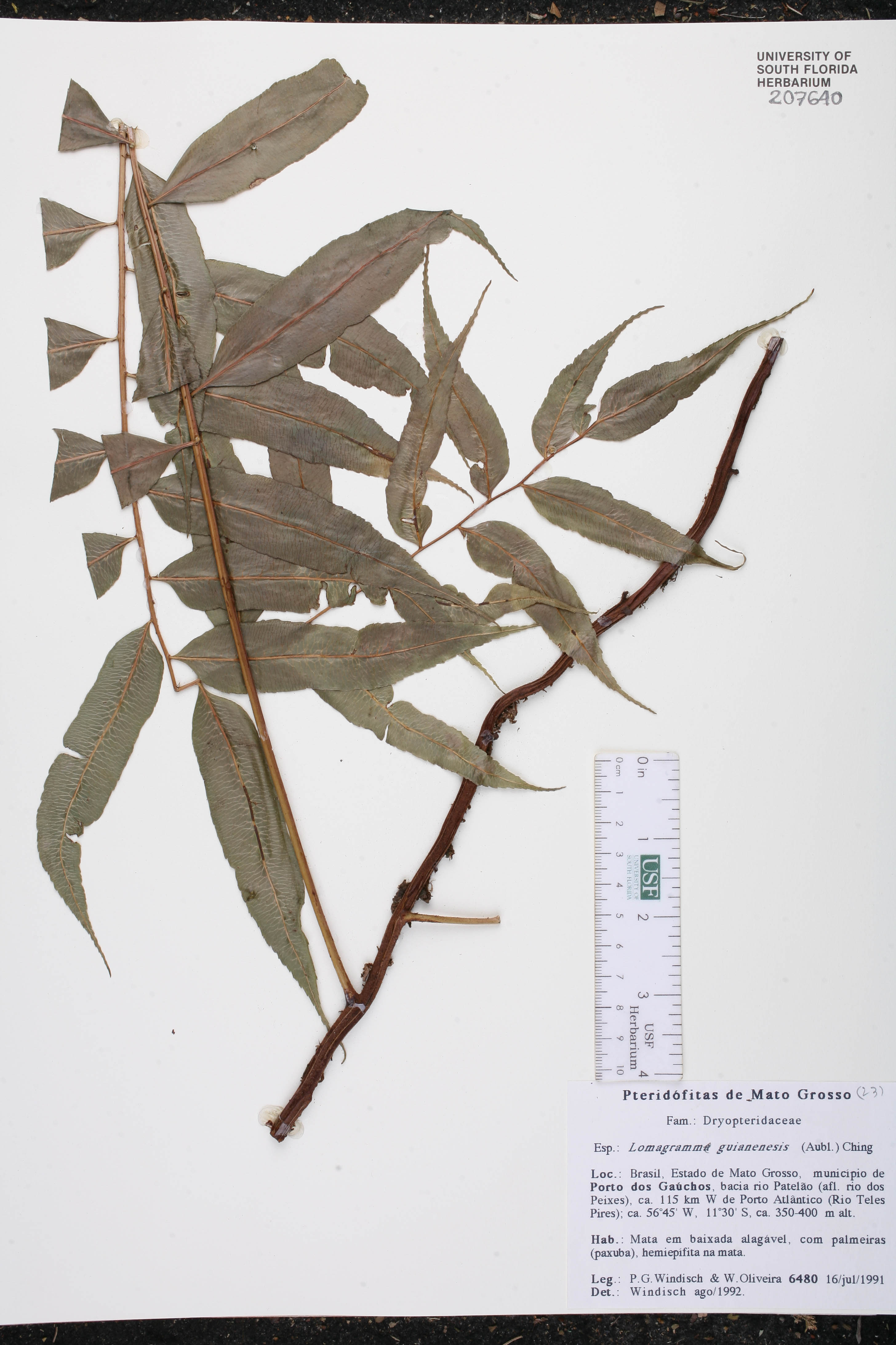 Lomagramma guianensis image