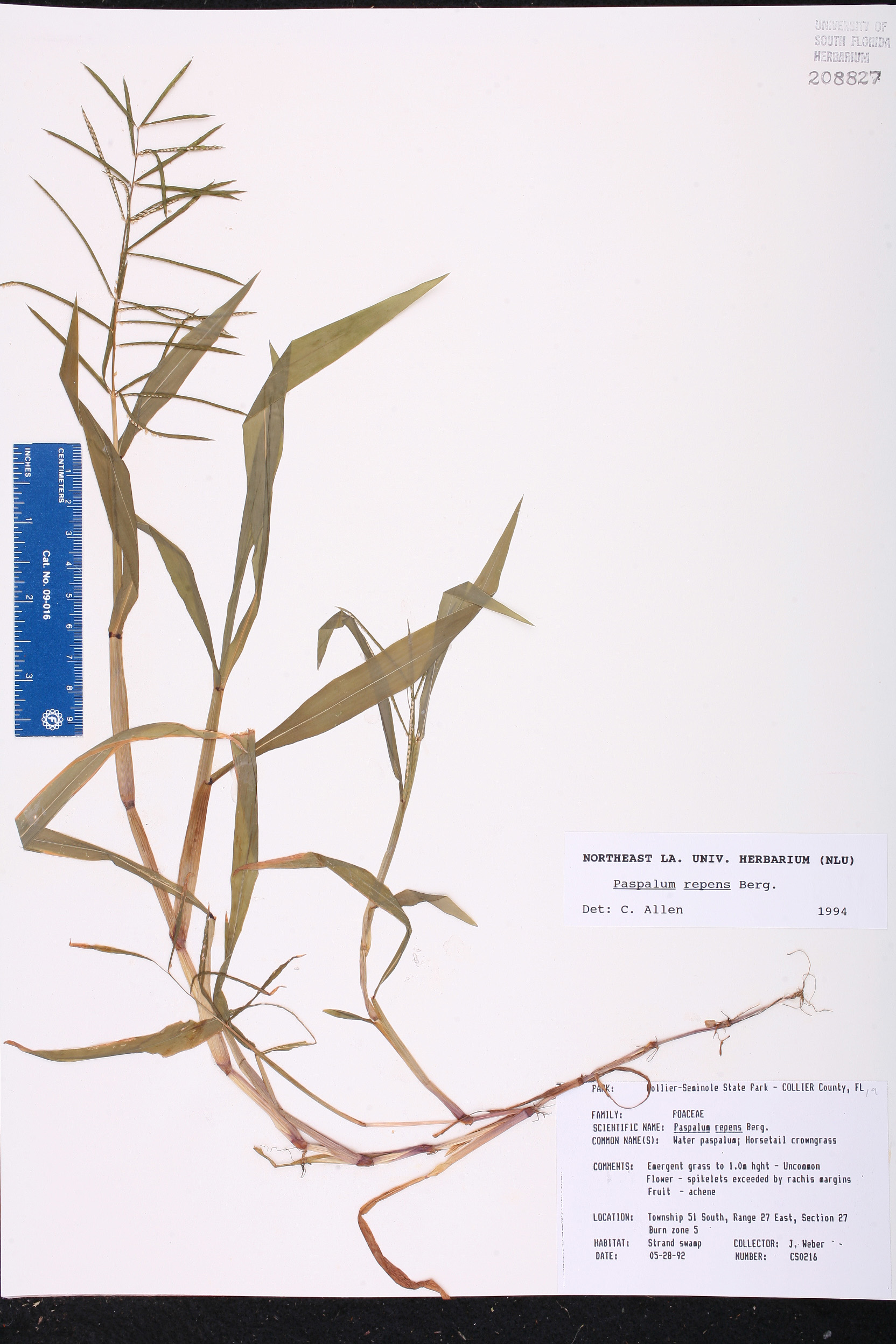 USA Paspalum repens Species Page