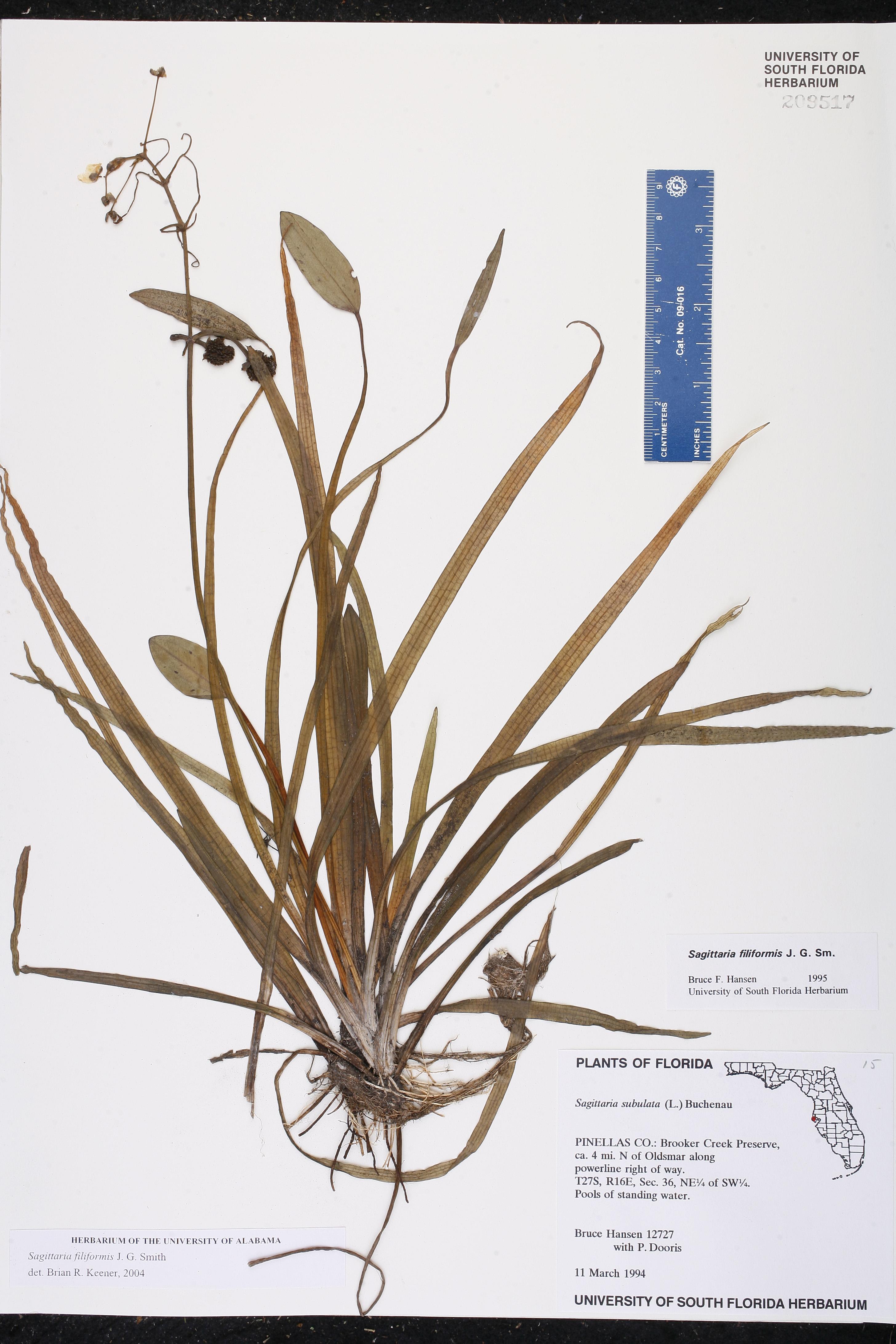 Sagittaria filiformis - Species Page - ISB: Atlas of Florida