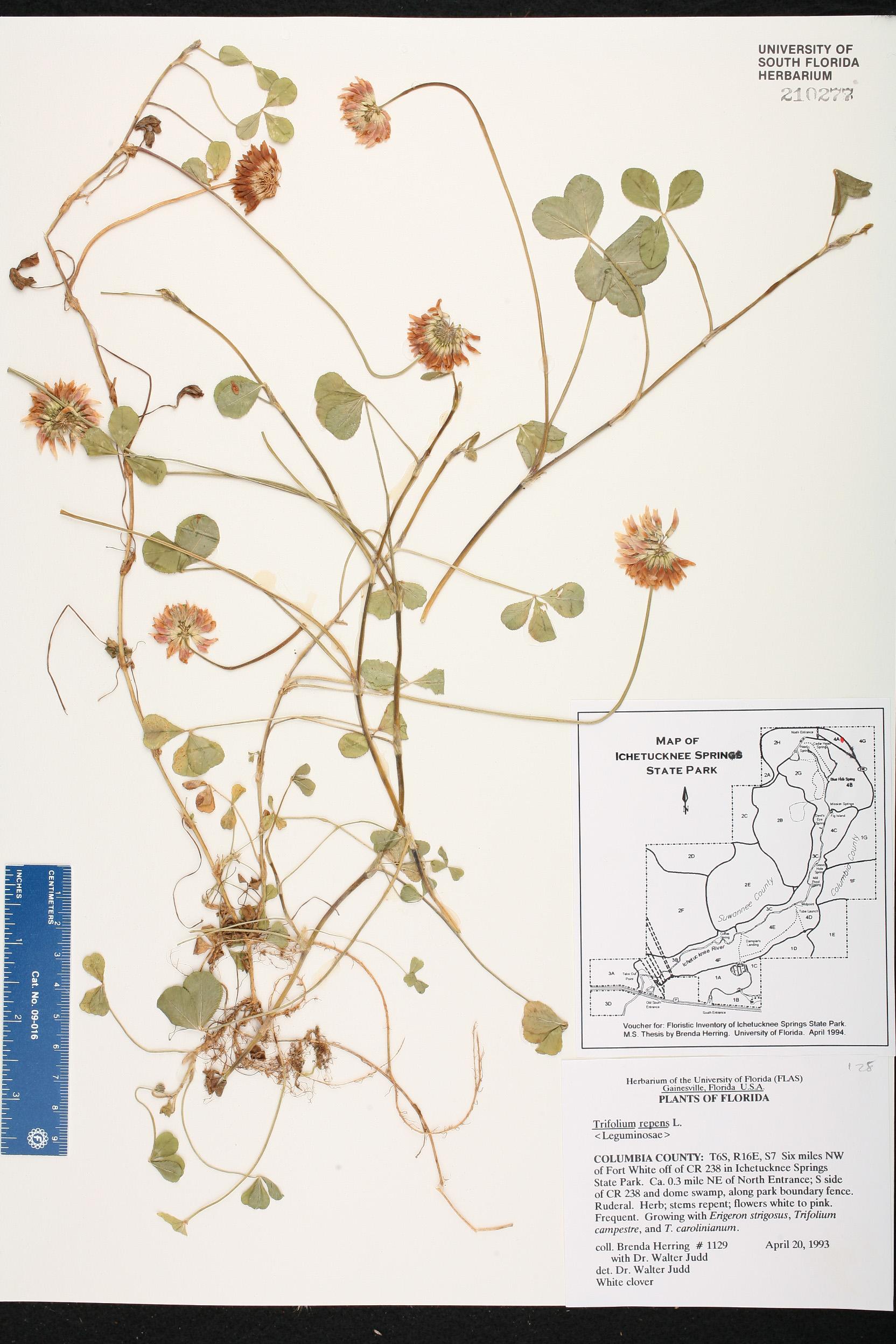 Trifolium Repens Species Page Isb Atlas Of Florida Plants Voucher Map Rp 700000 Usa