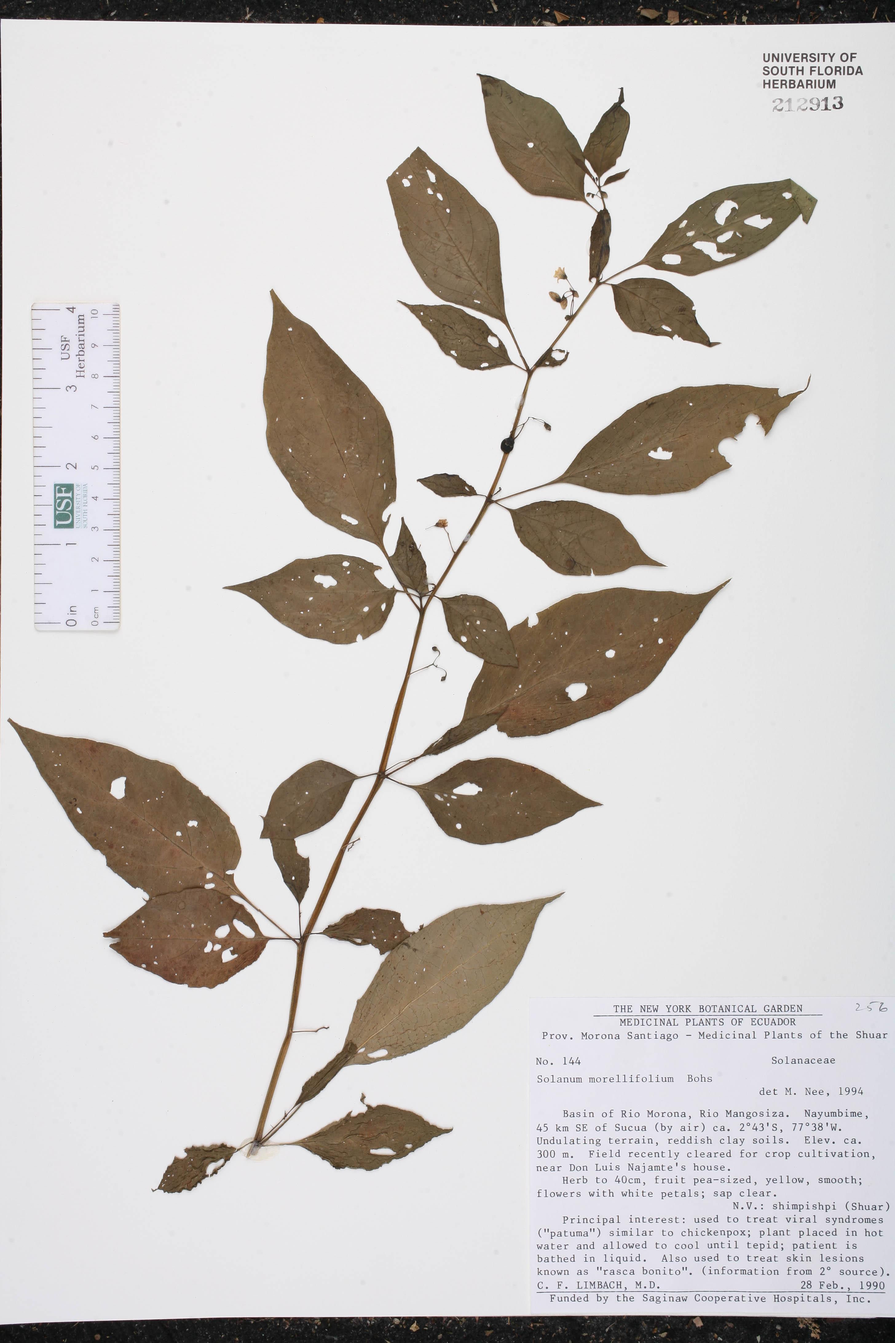 Solanum morellifolium image