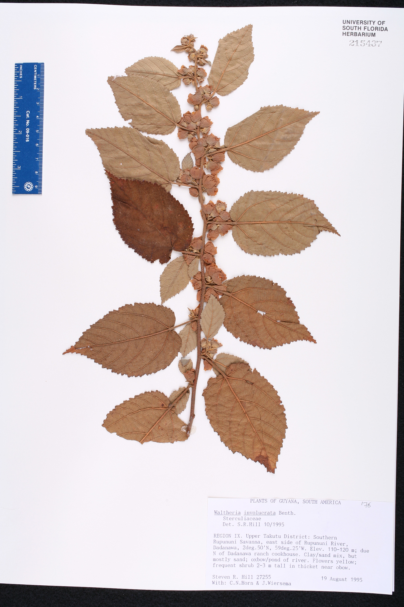 Waltheria involucrata image