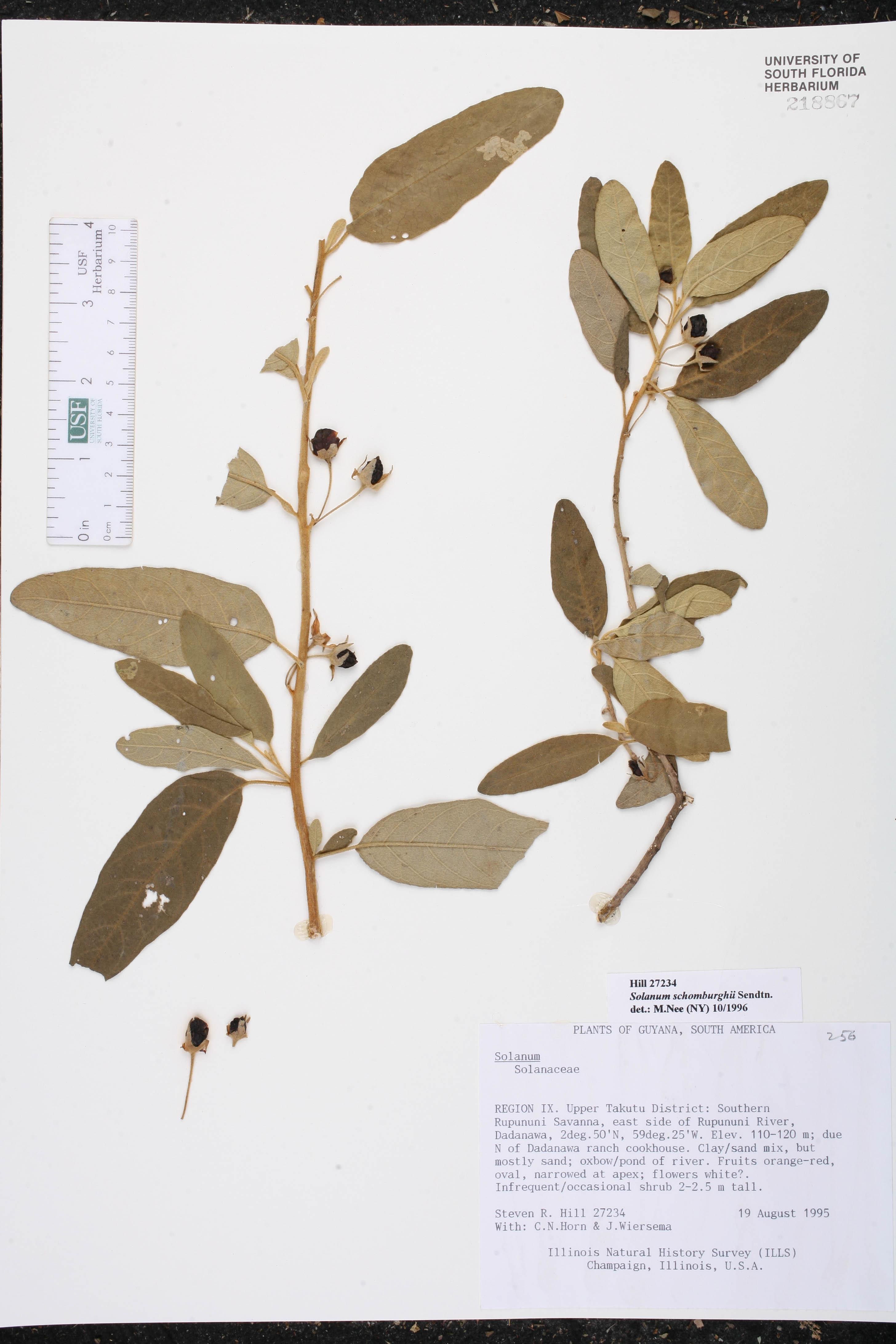 Solanum schomburghii image