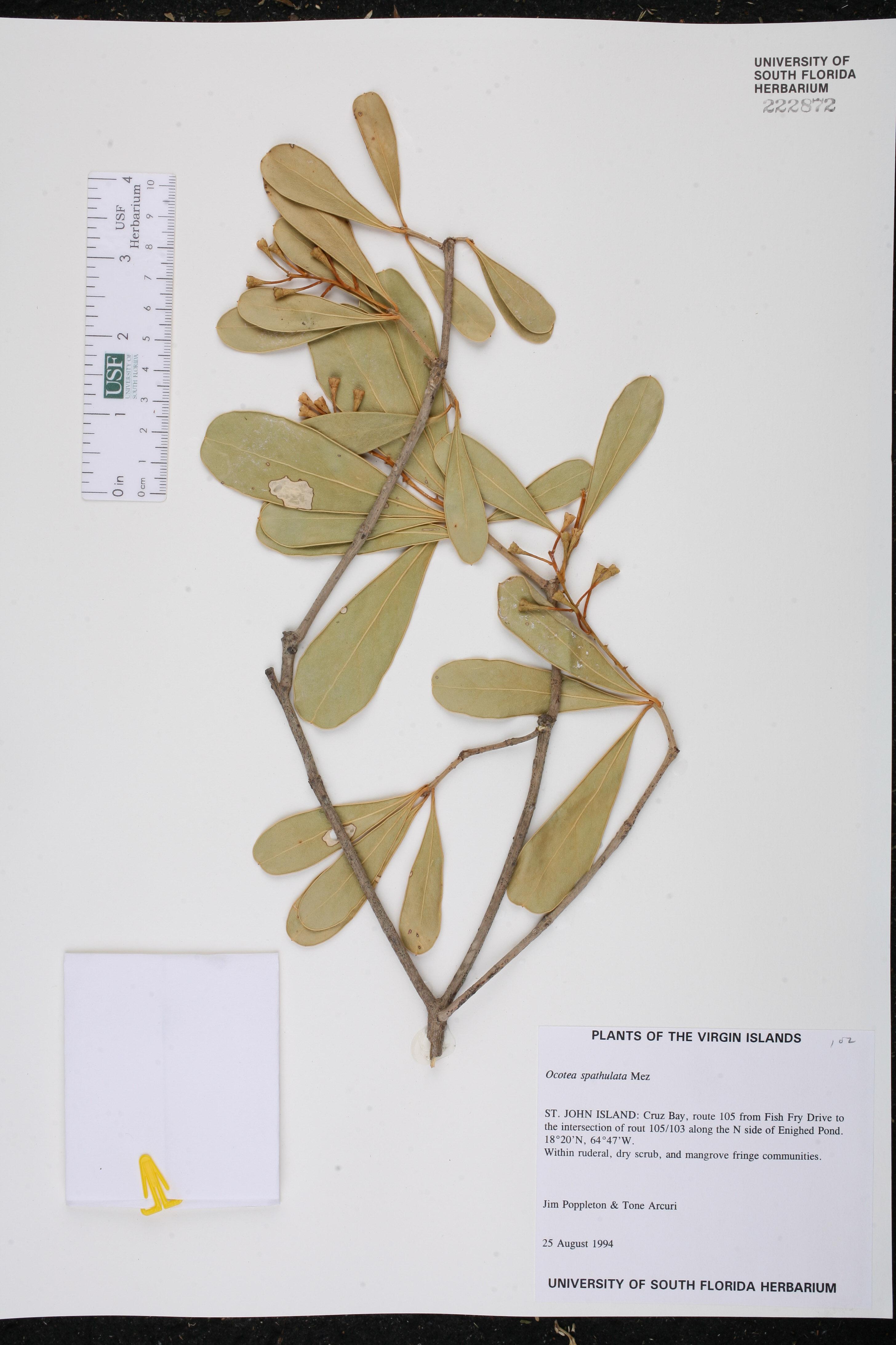 Ocotea spathulata image