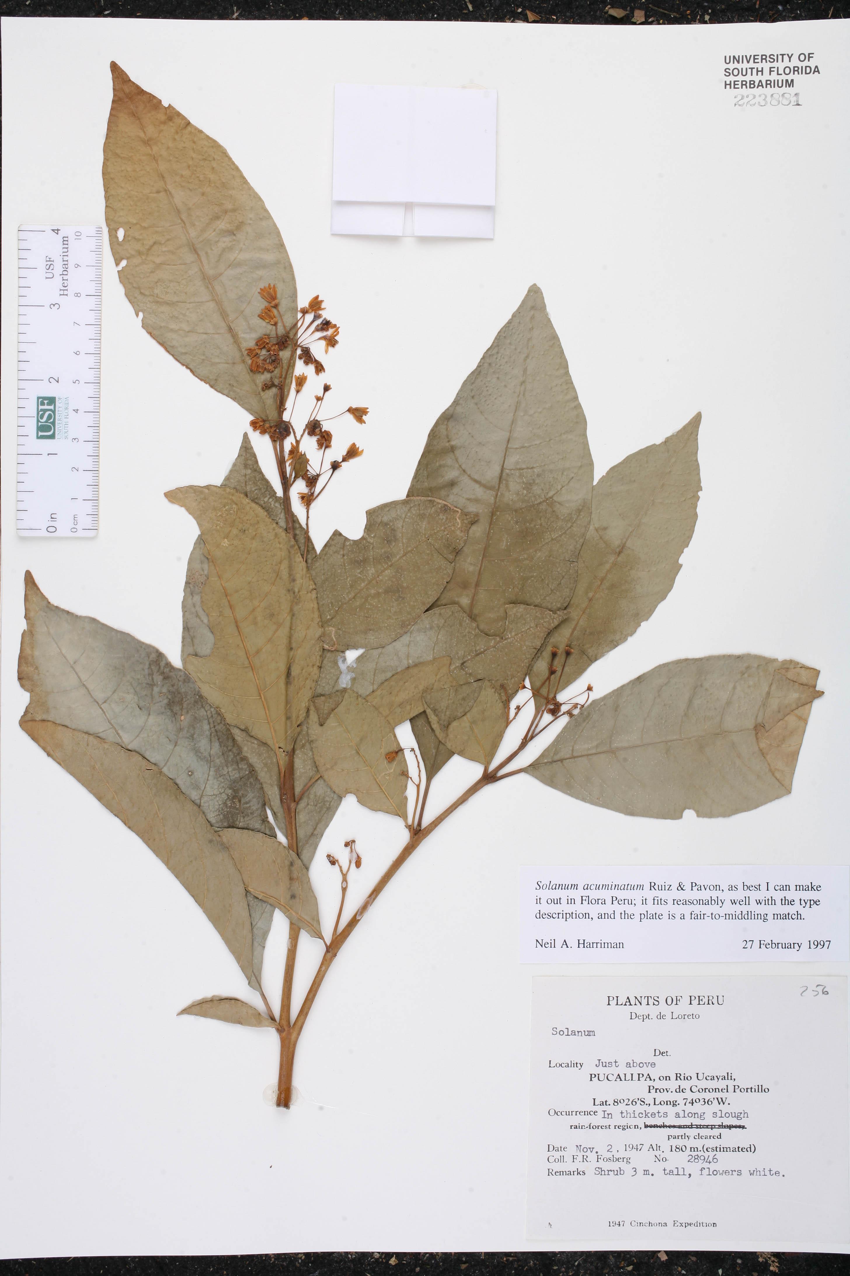 Solanum acuminatum image