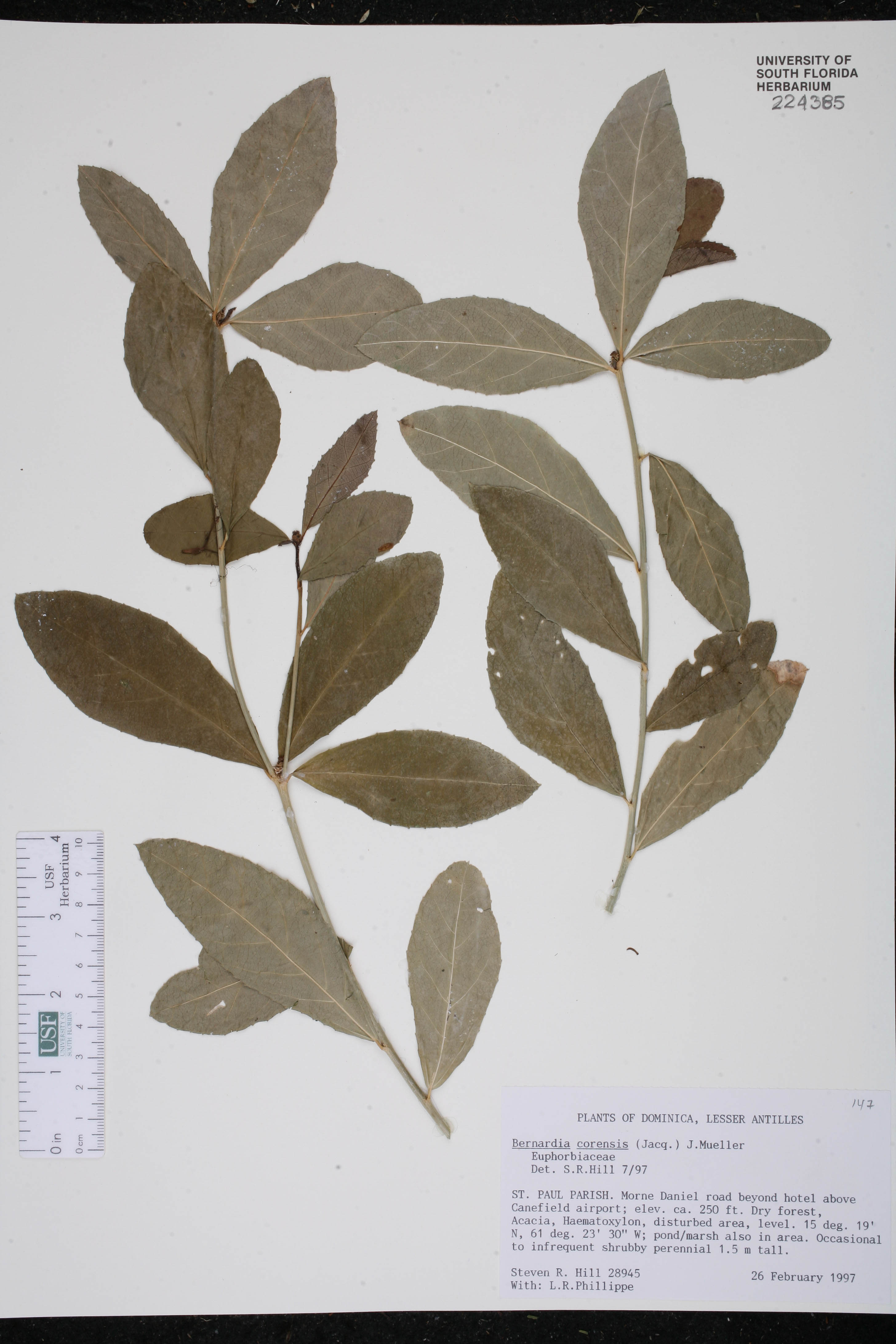 Bernardia corensis image