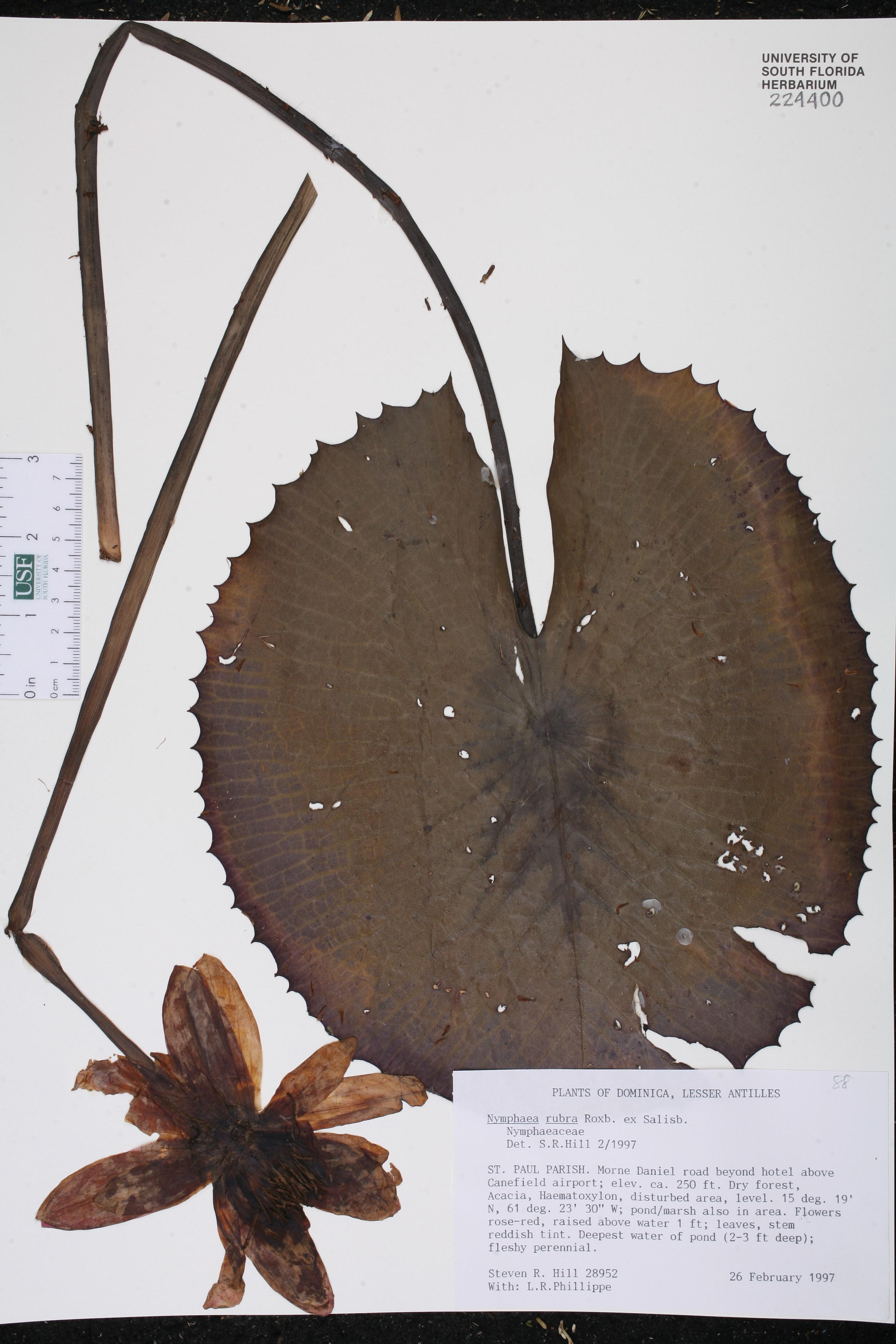 Nymphaea rubra image