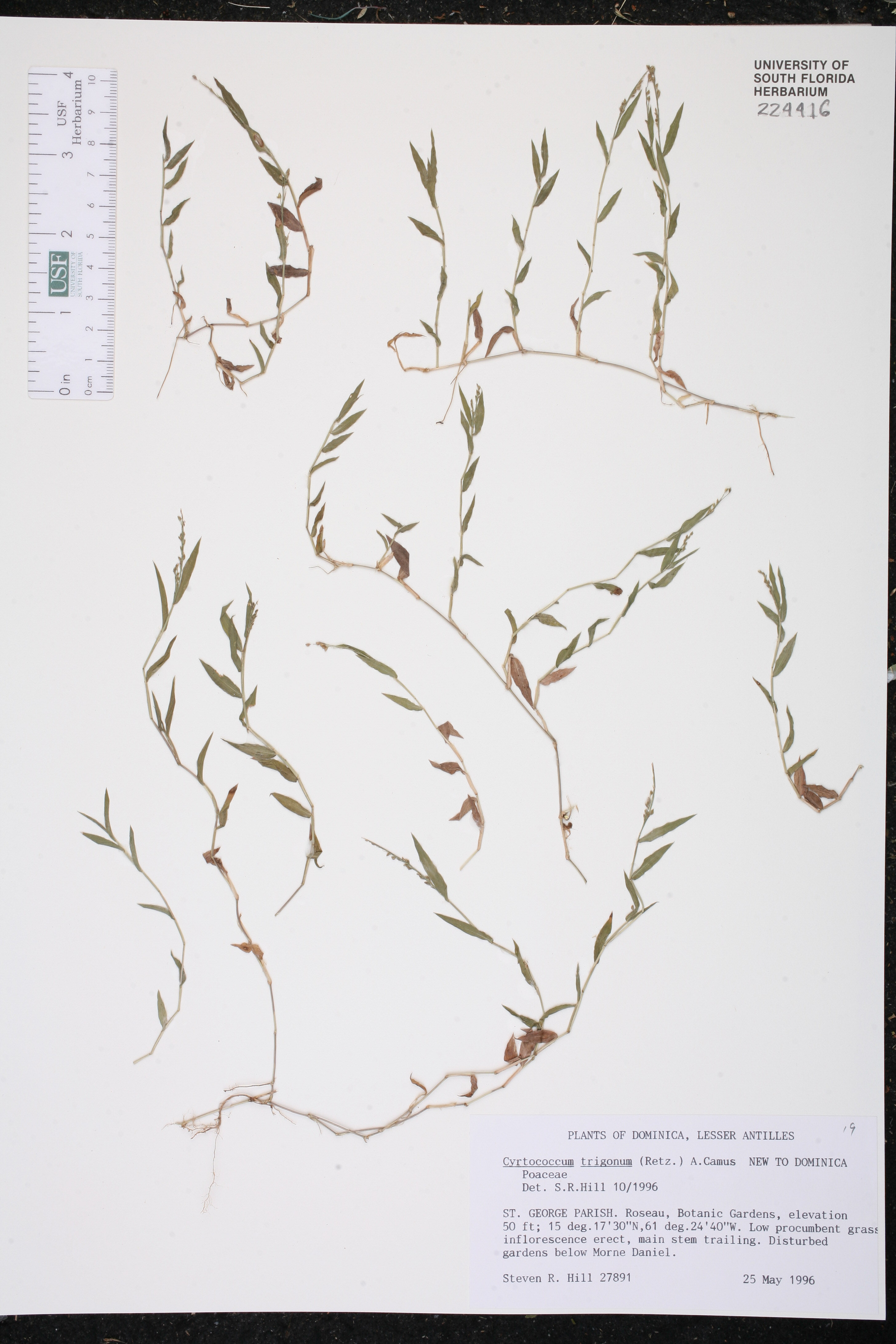 Cyrtococcum trigonum image